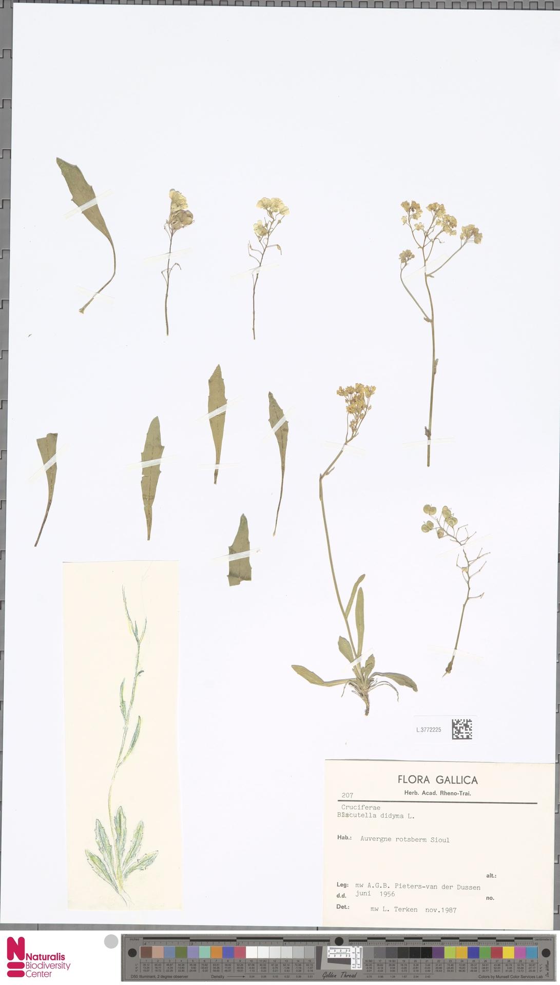 L.3772225 | Biscutella didyma L.