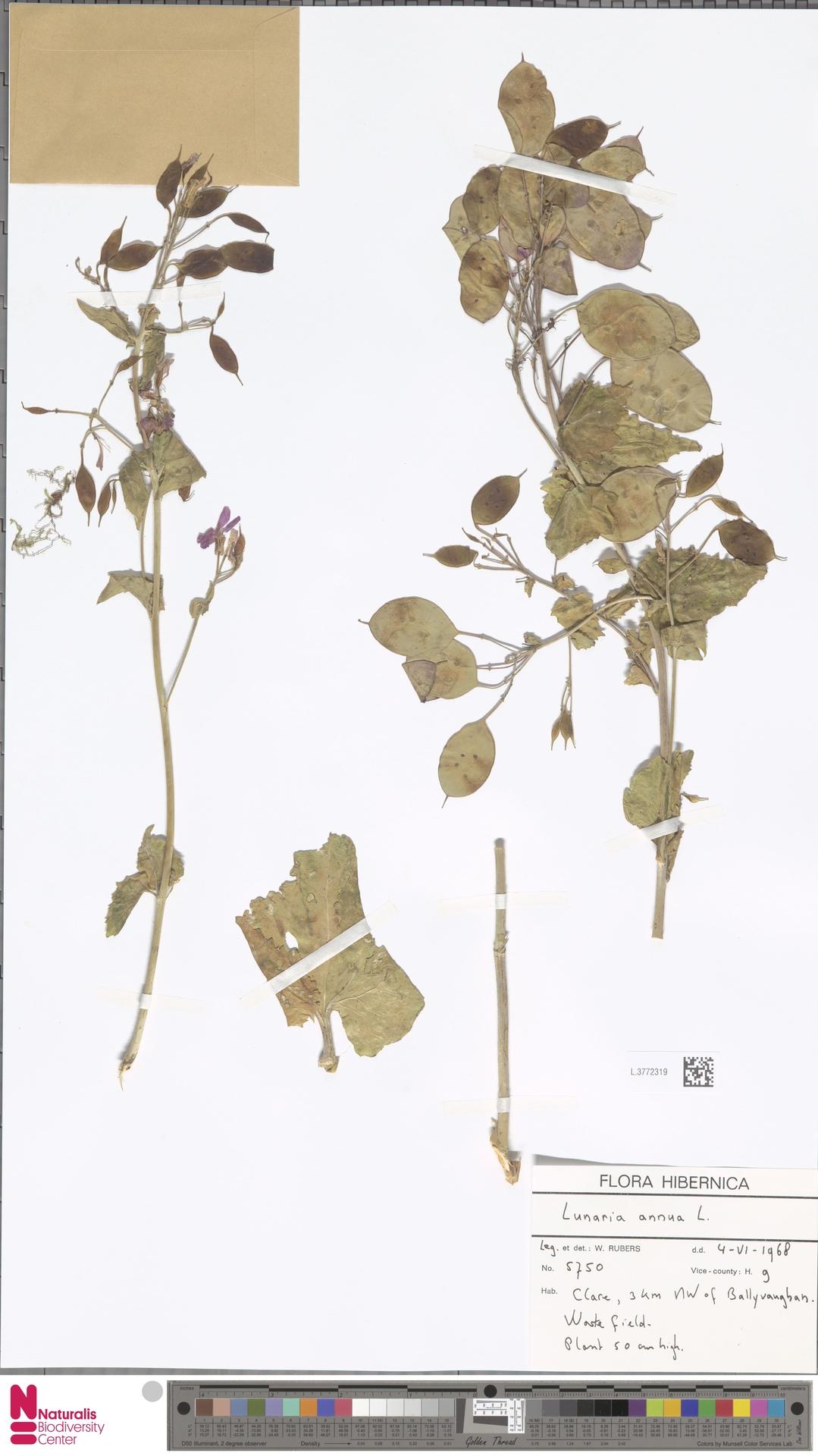 L.3772319 | Lunaria annua L.