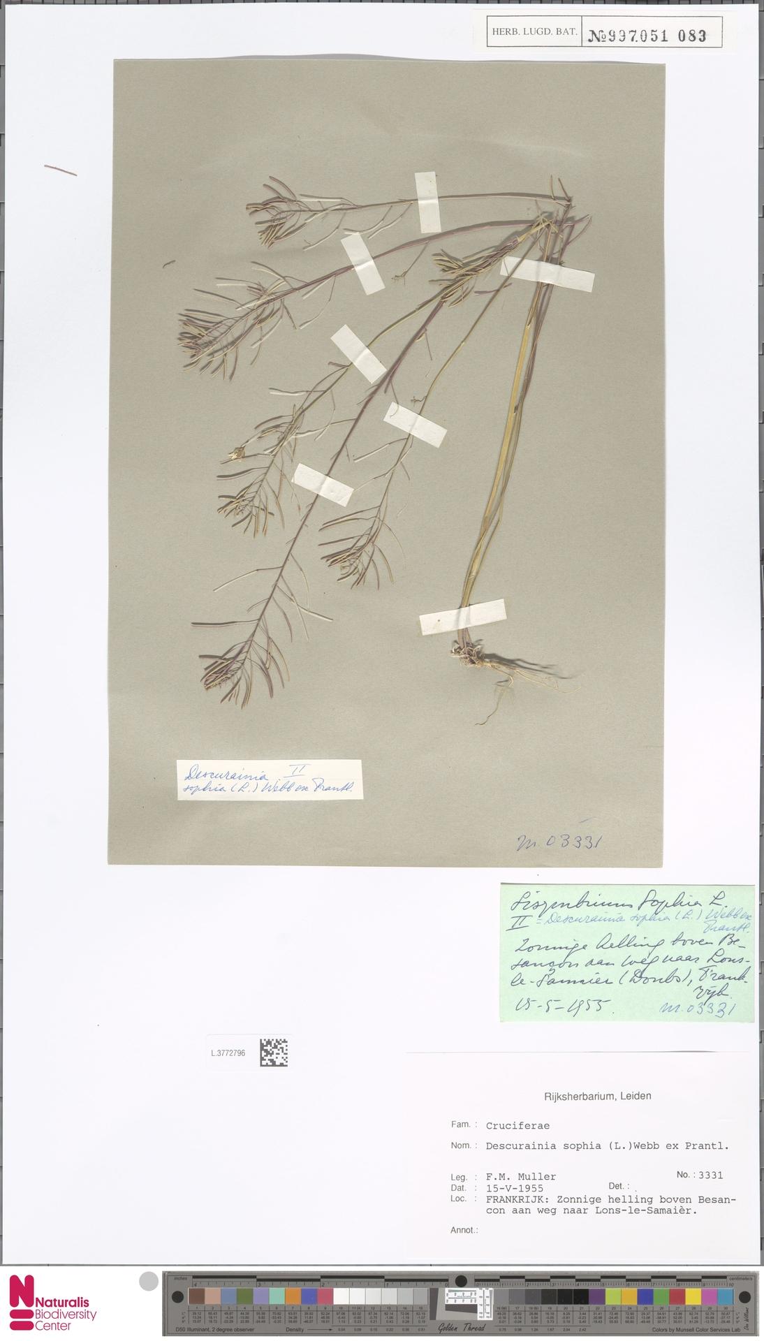 L.3772796 | Descurainia sophia (L.) Webb ex Prantl