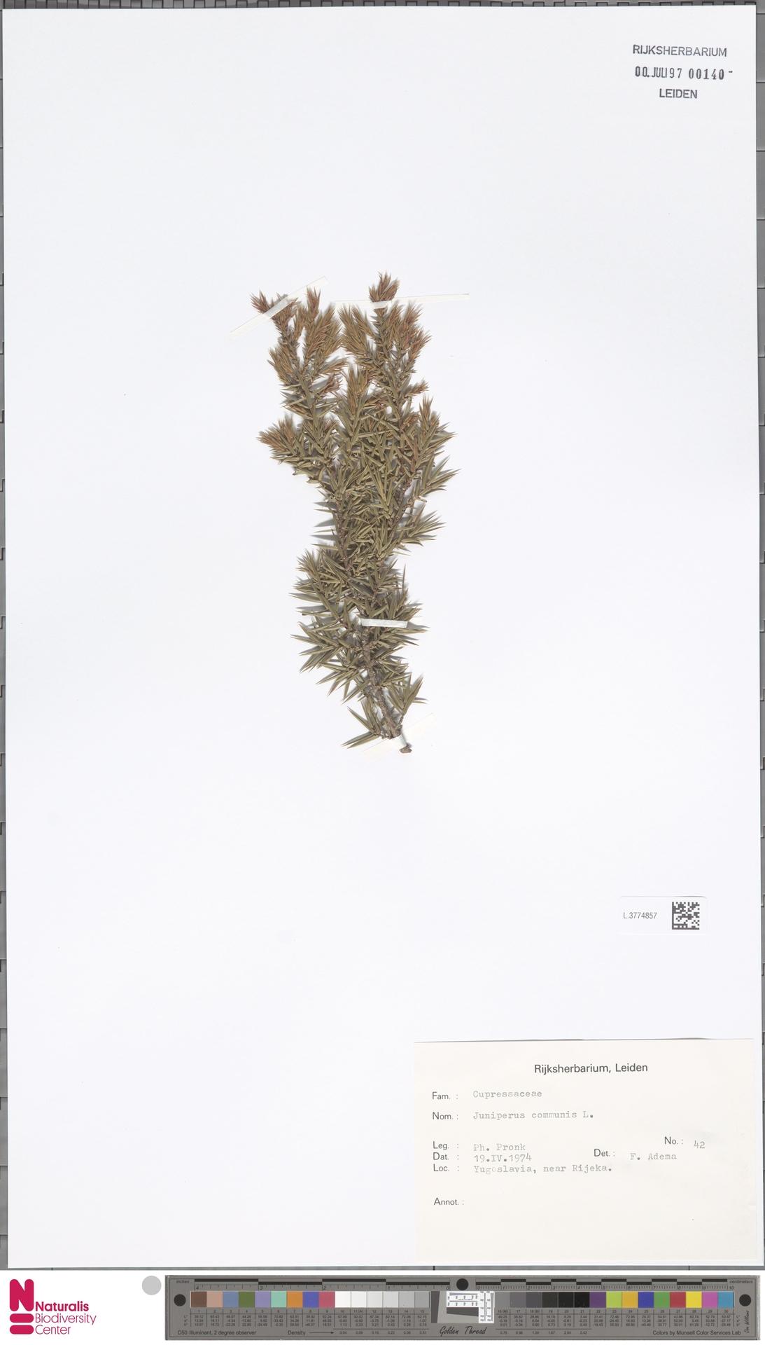 L.3774857 | Juniperus communis L.