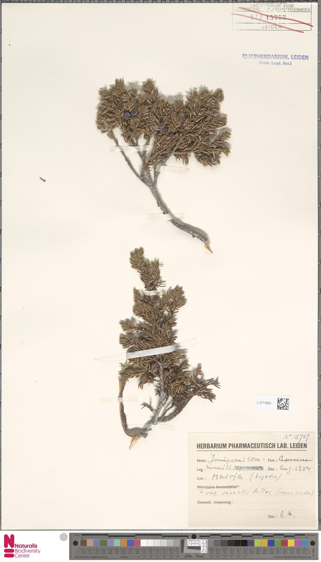 L.3774983 | Juniperus communis L.