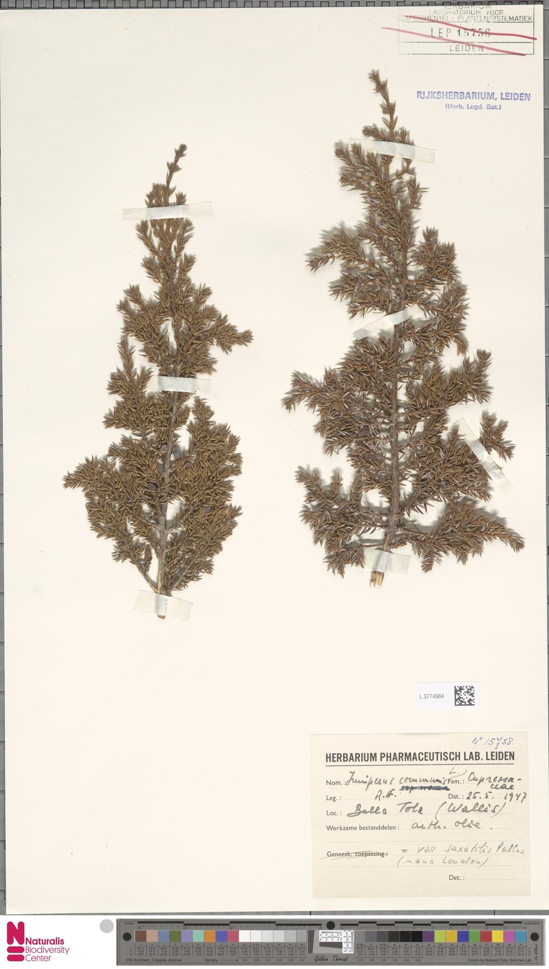 L.3774984 | Juniperus communis L.