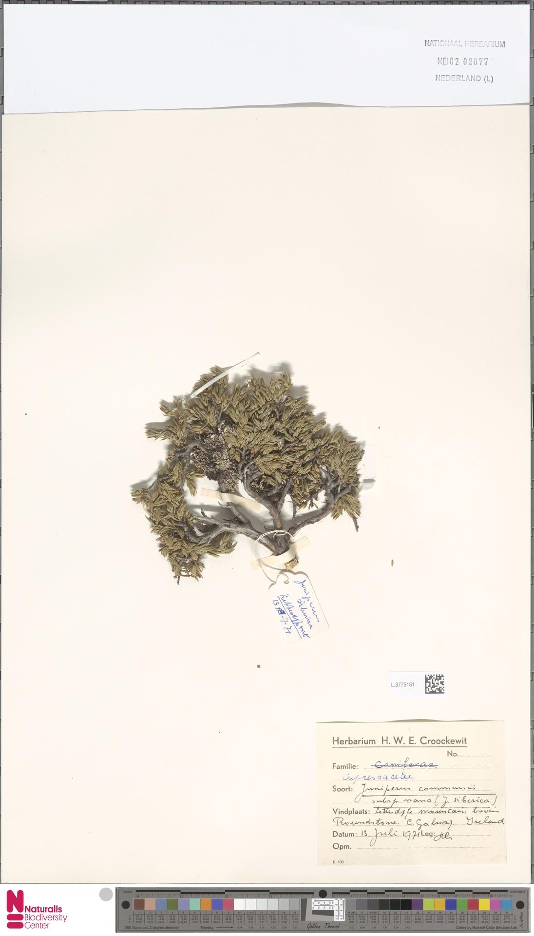L.3775161 | Juniperus communis L.
