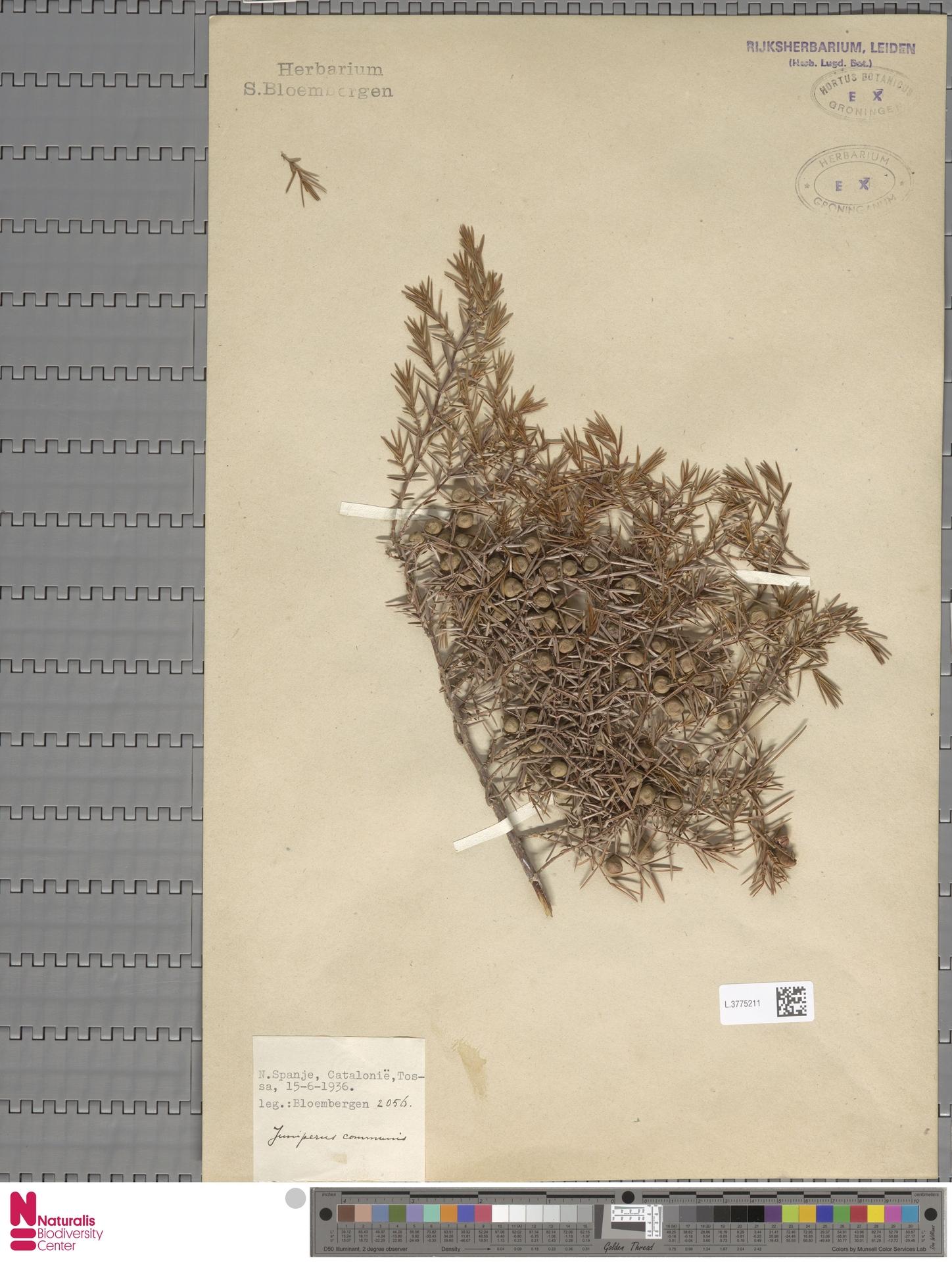 L.3775211 | Juniperus communis L.