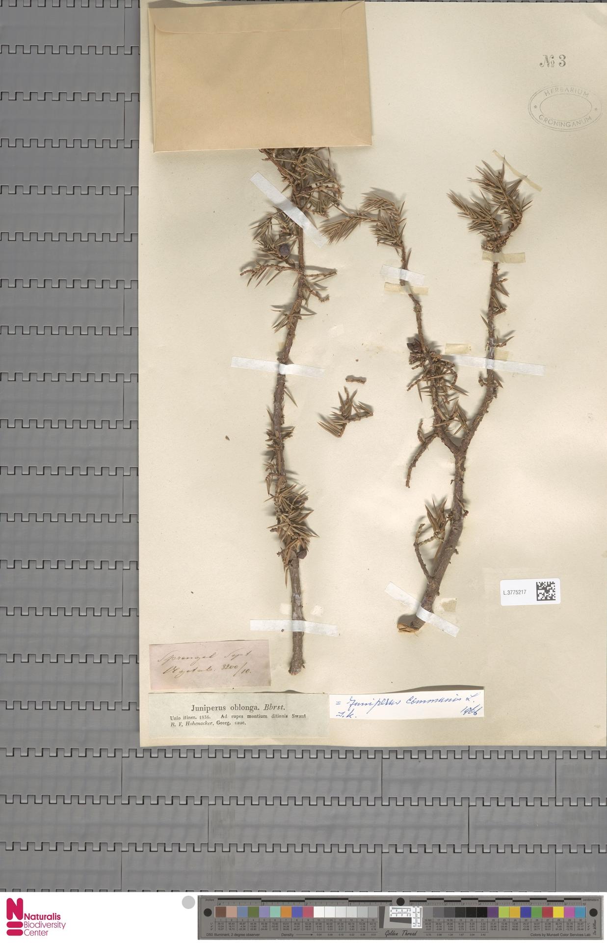 L.3775217 | Juniperus communis L.