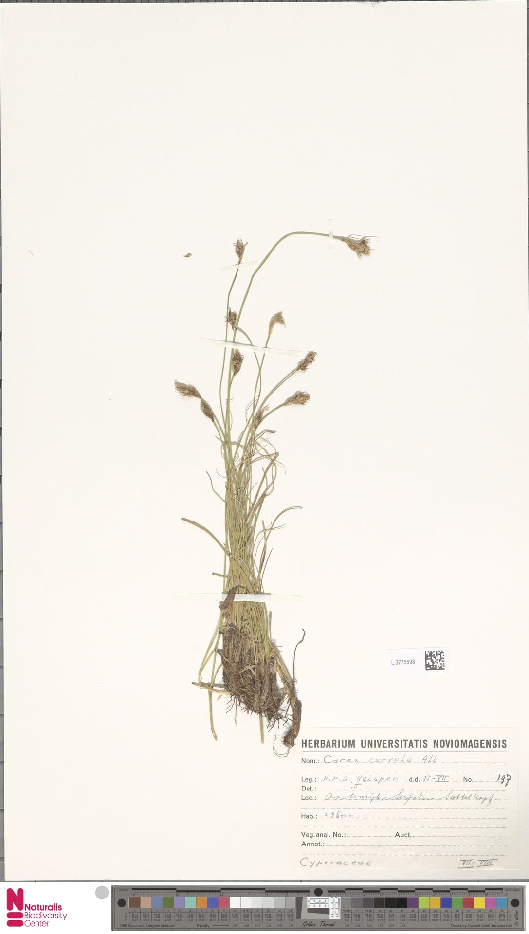 L.3775598 | Carex curvula All.