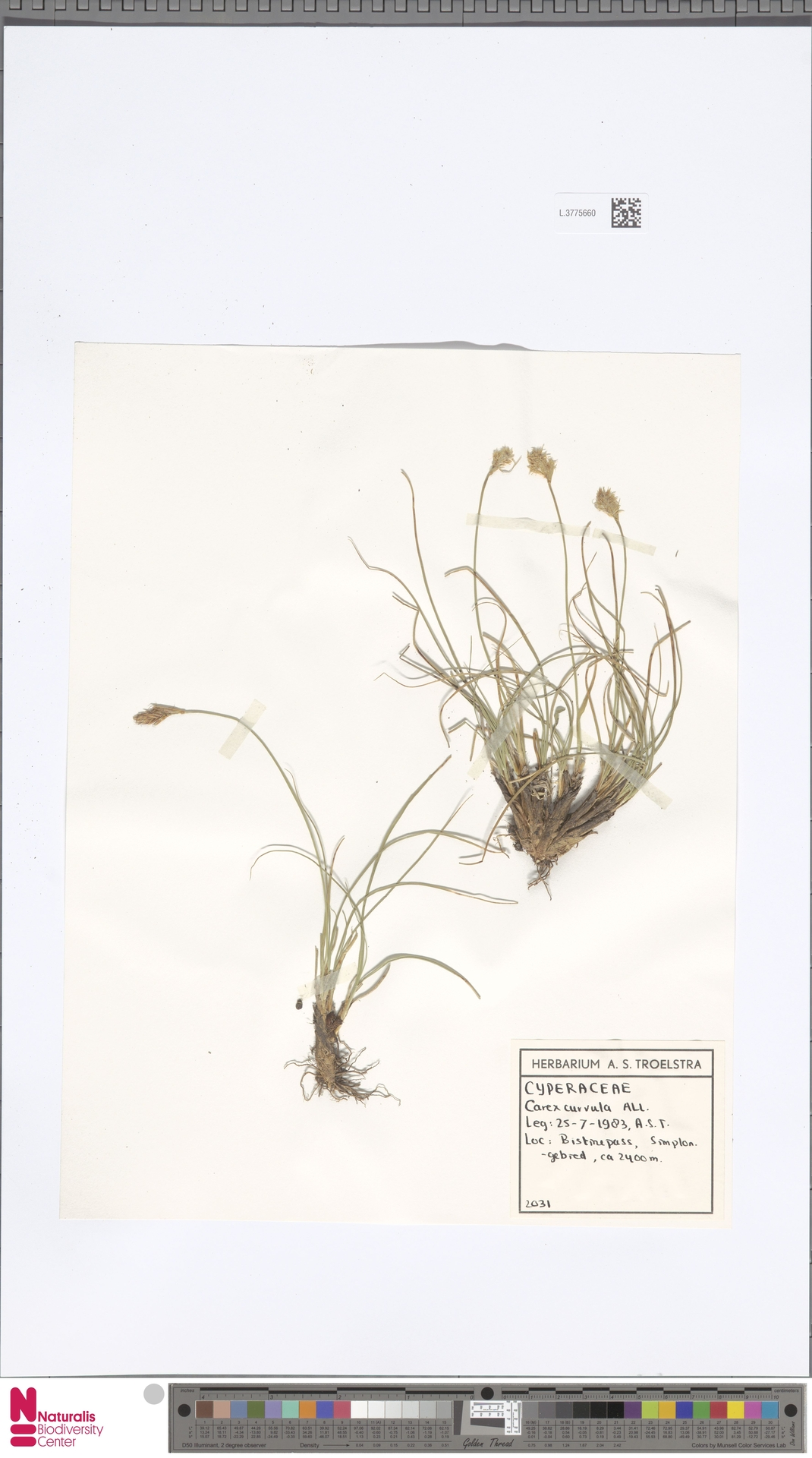 L.3775660 | Carex curvula All.