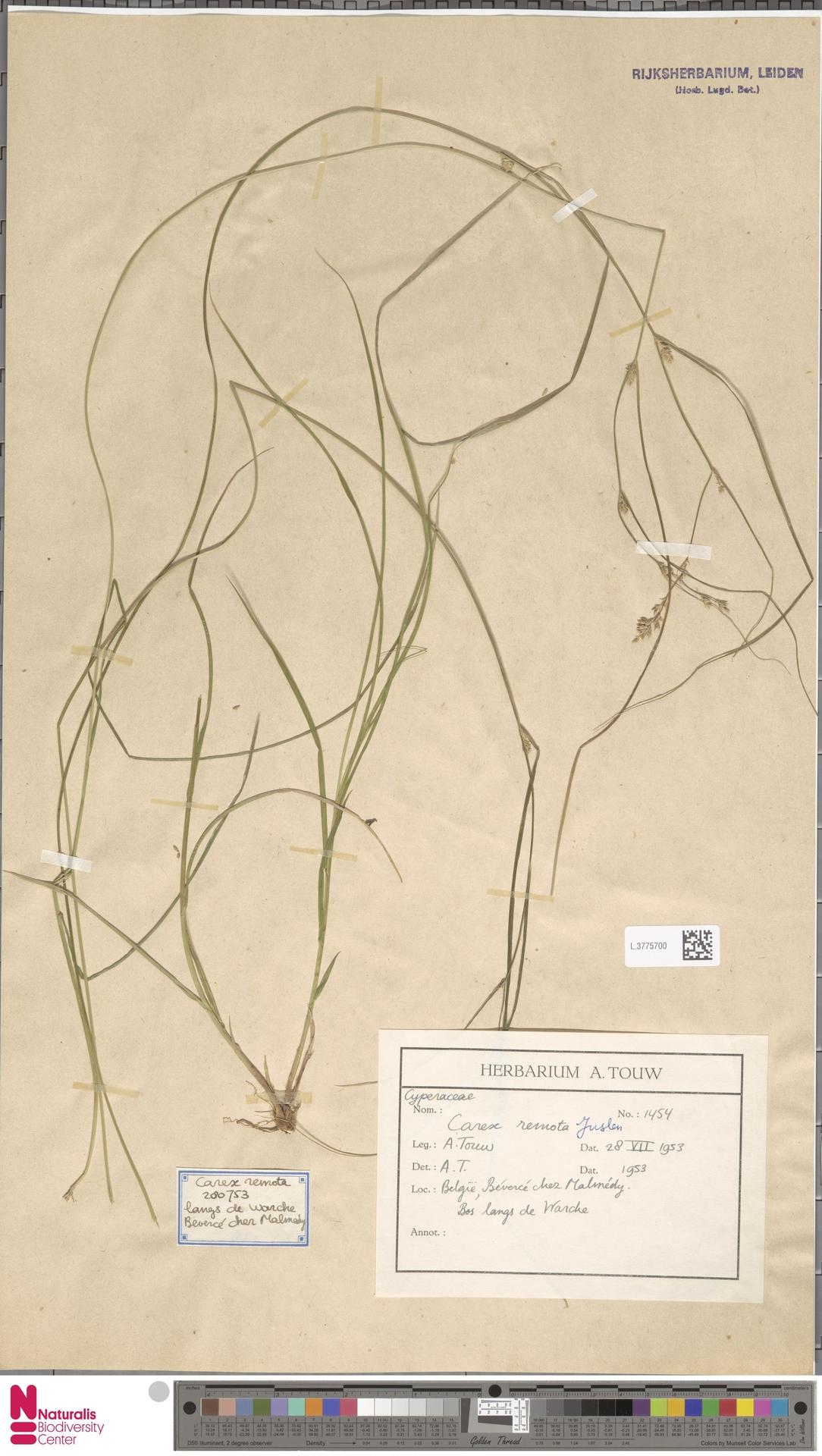 L.3775700   Carex remota L.