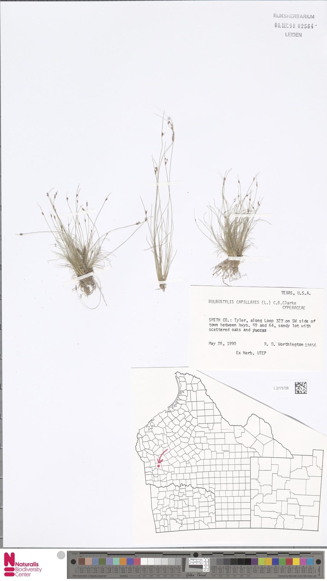 L.3775728 | Bulbostylis capillaris (L.) Kunth ex C.B.Clarke