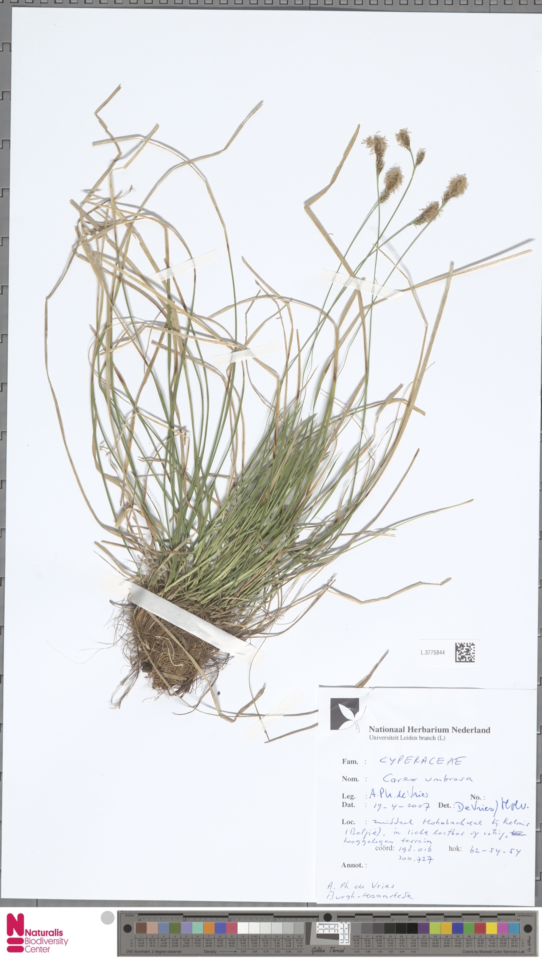 L.3775844 | Carex umbrosa Host