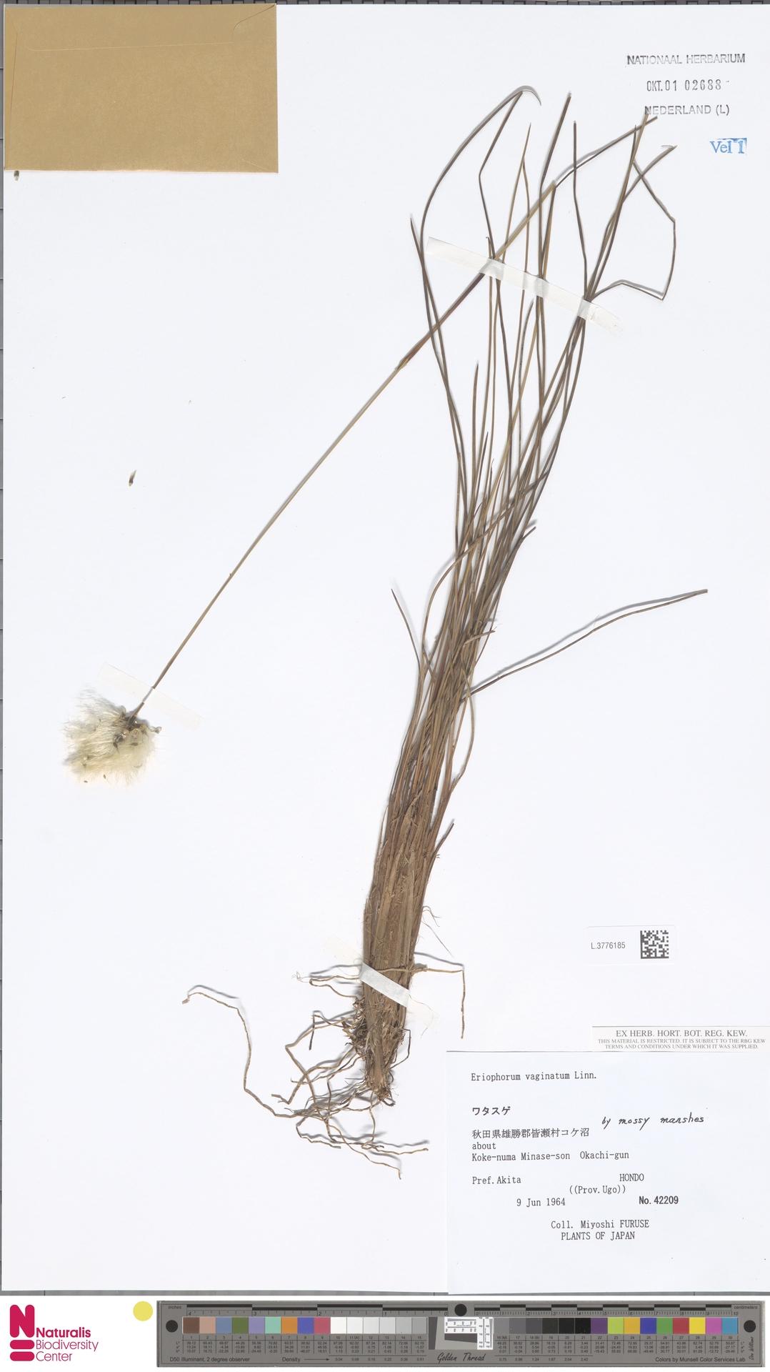 L.3776185 | Eriophorum vaginatum L.