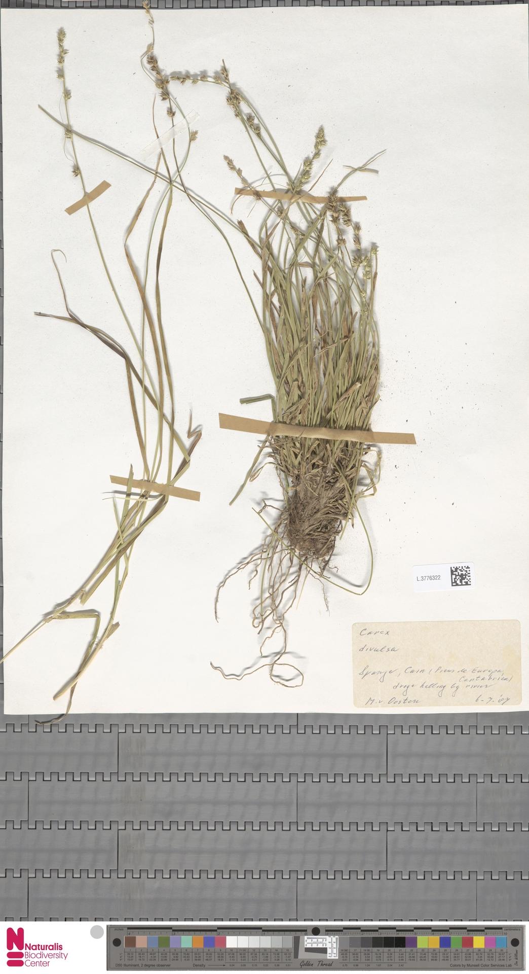 L.3776322 | Carex divulsa Stokes