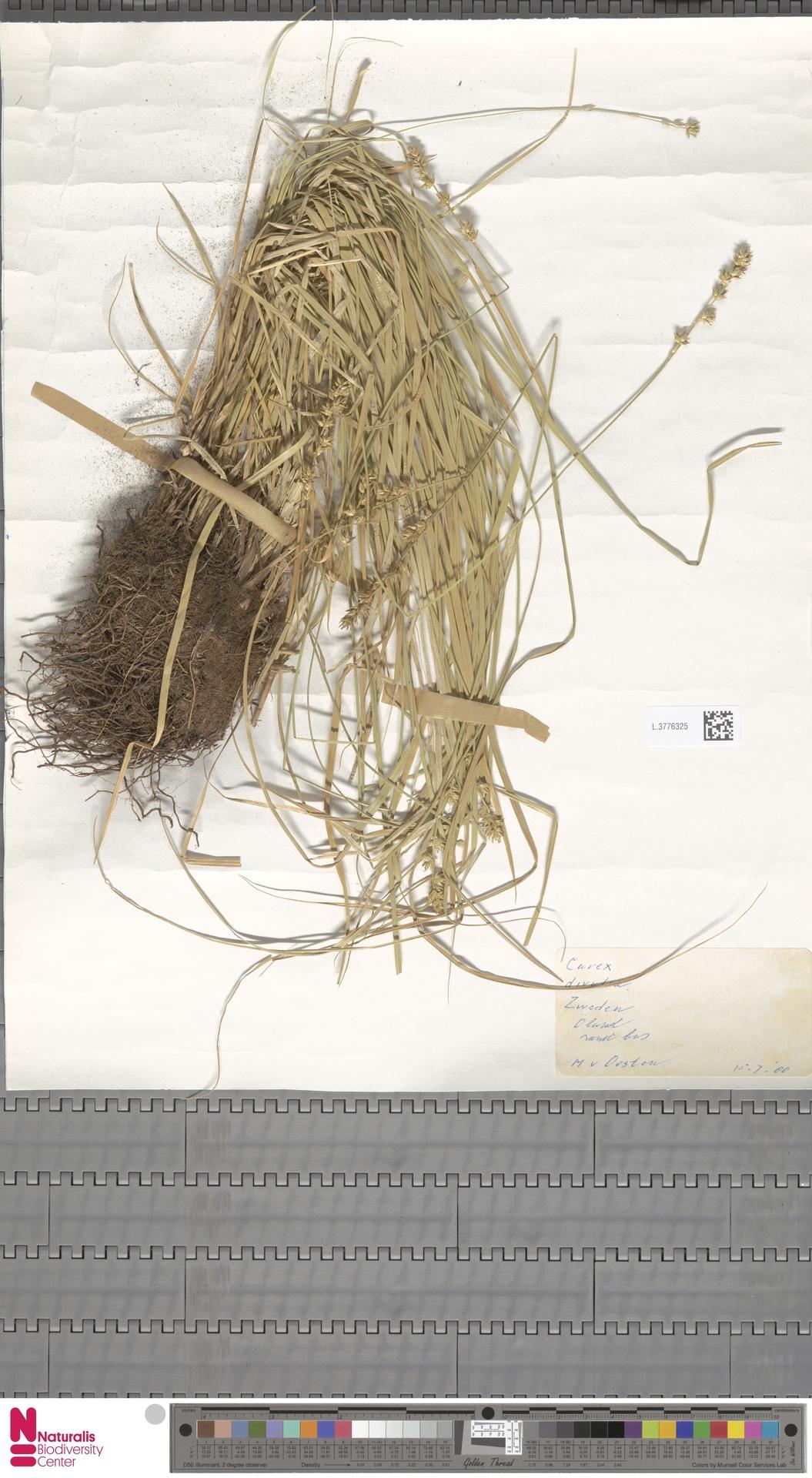 L.3776325   Carex divulsa Stokes