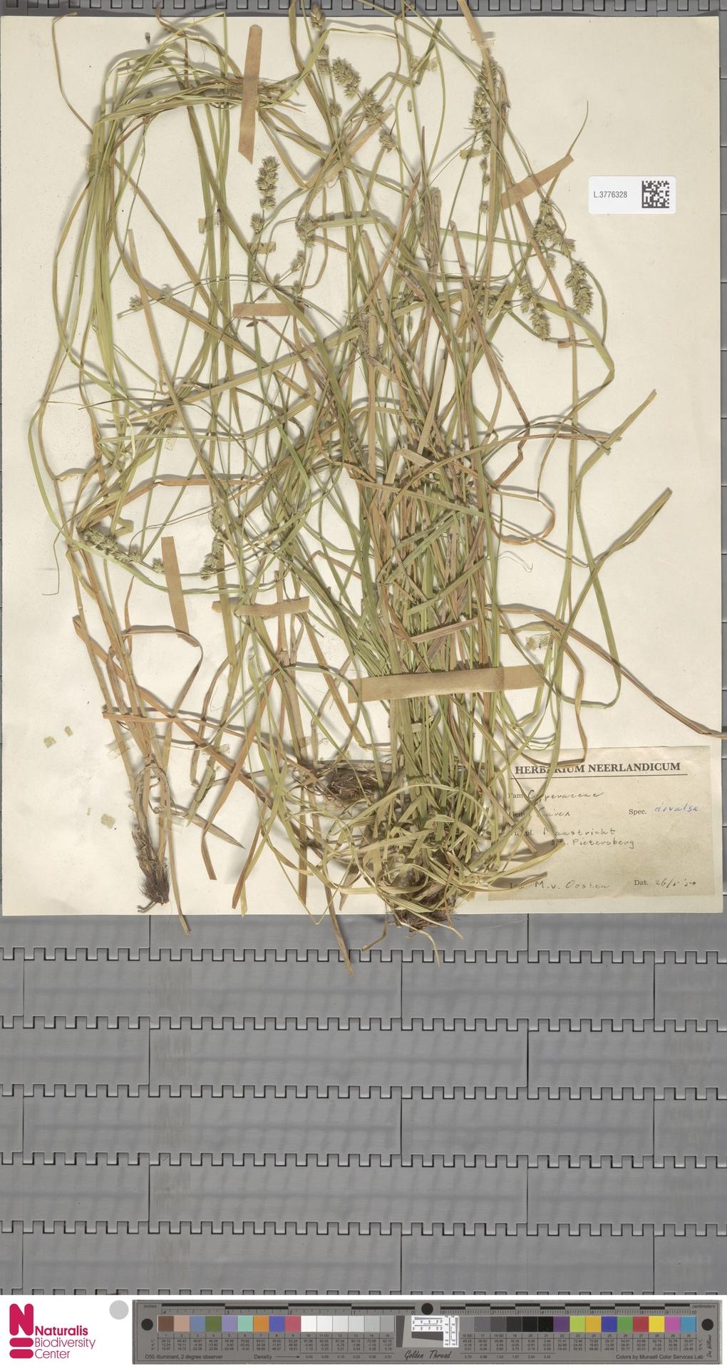 L.3776328 | Carex divulsa Stokes