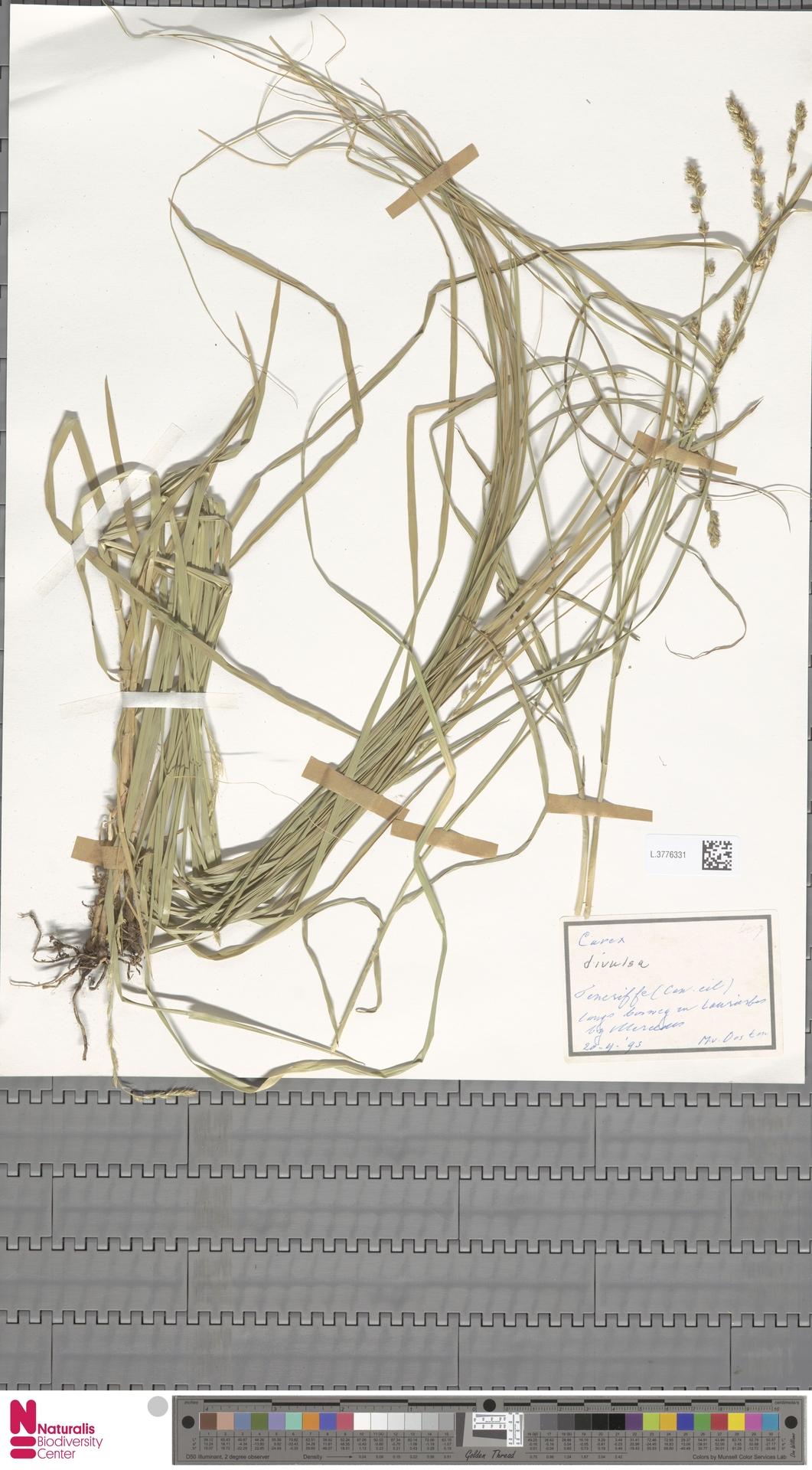 L.3776331   Carex divulsa Stokes