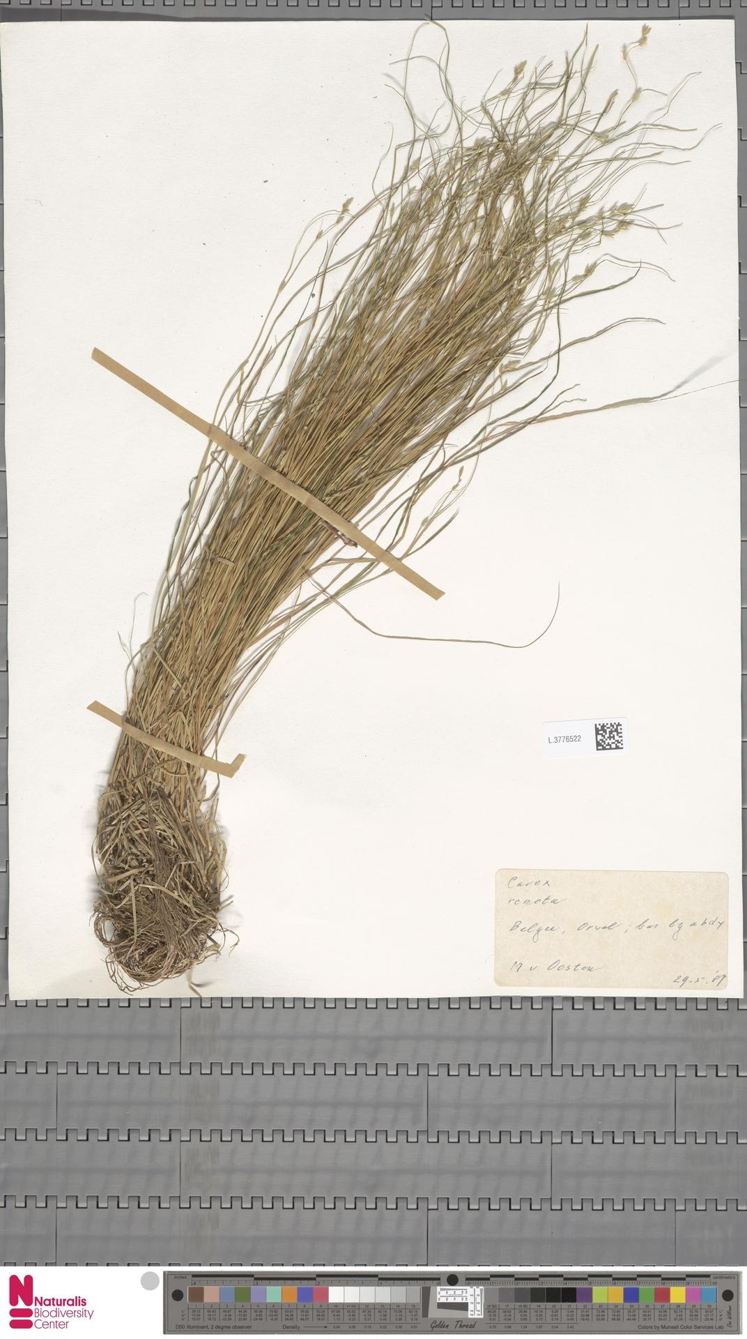 L.3776522 | Carex remota L.