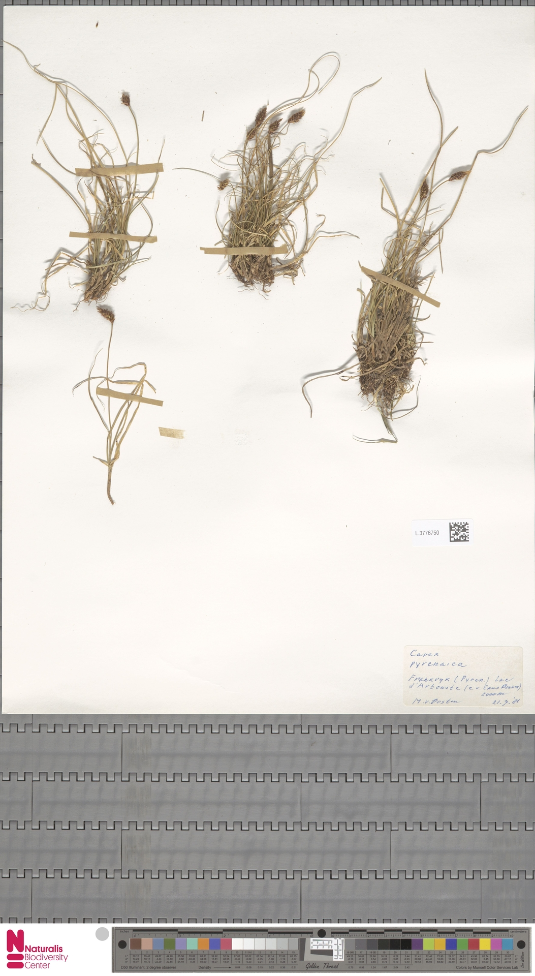 L.3776750 | Carex pyrenaica Wahlenb.