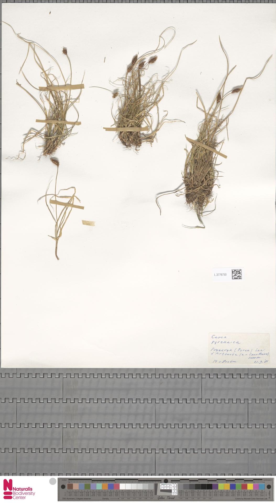 L.3776750   Carex pyrenaica Wahlenb.