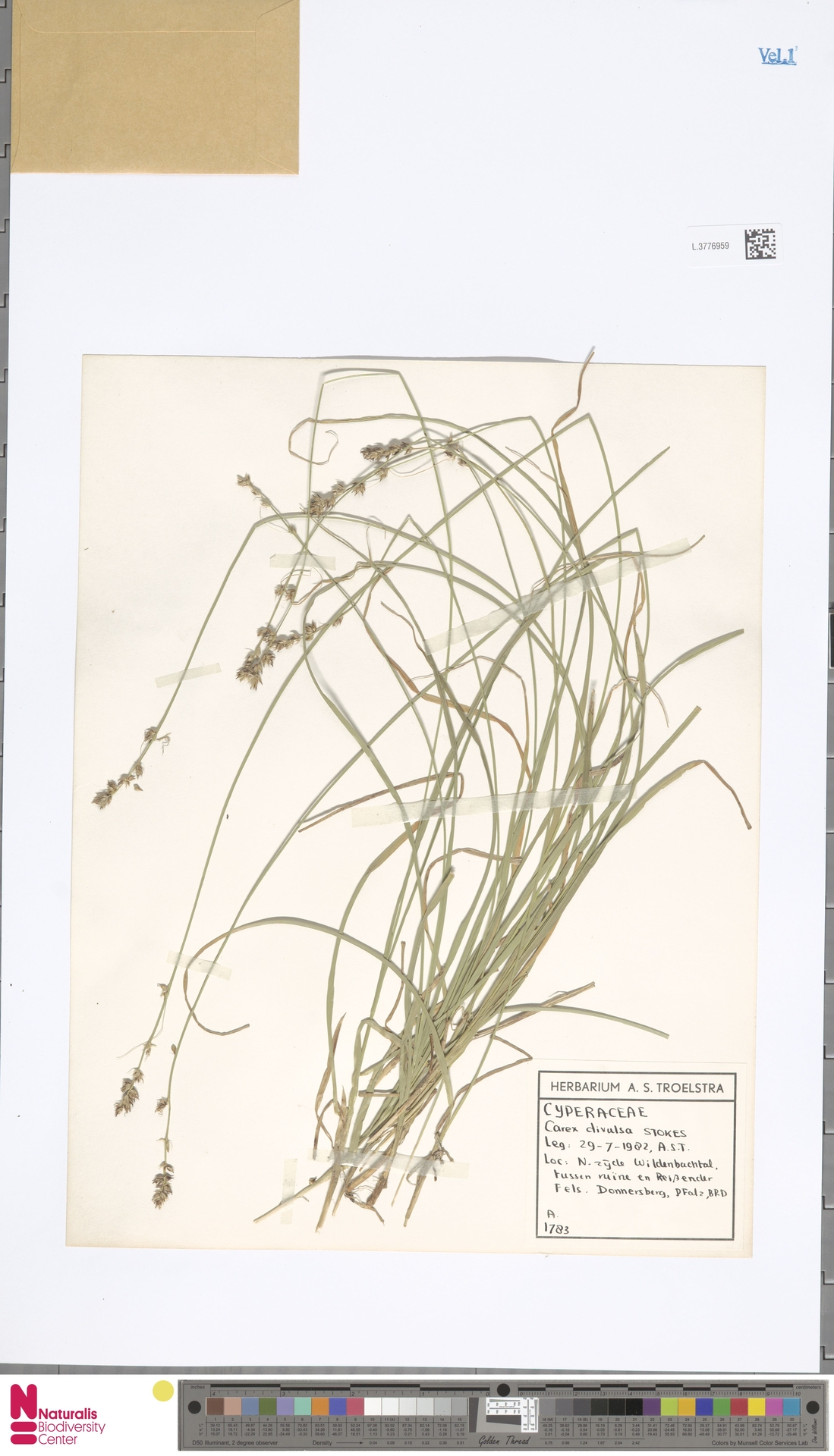 L.3776959 | Carex divulsa Stokes