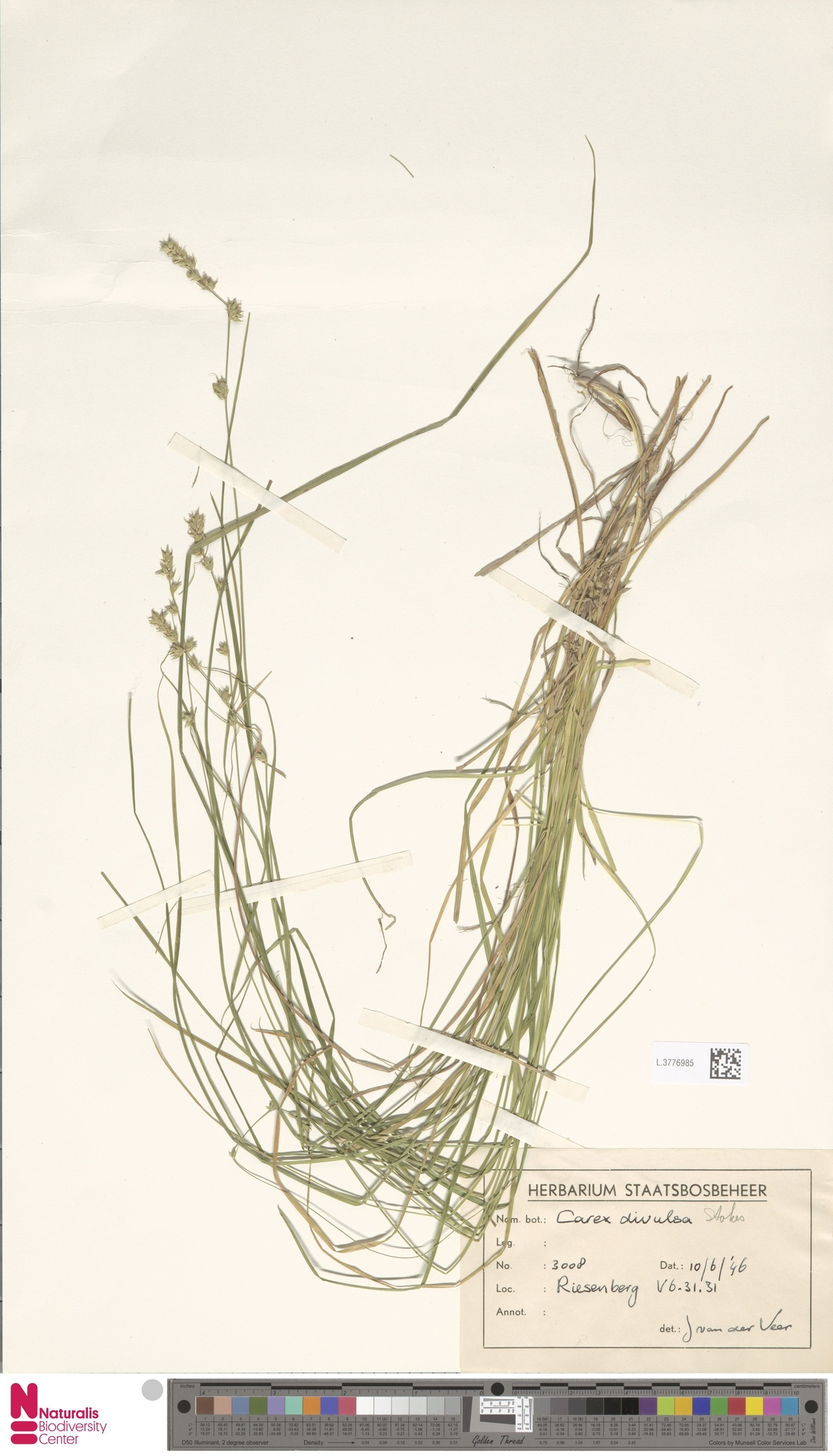 L.3776985 | Carex divulsa Stokes