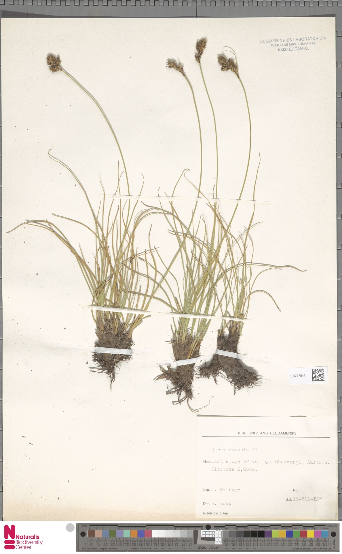 L.3777041 | Carex curvula All.