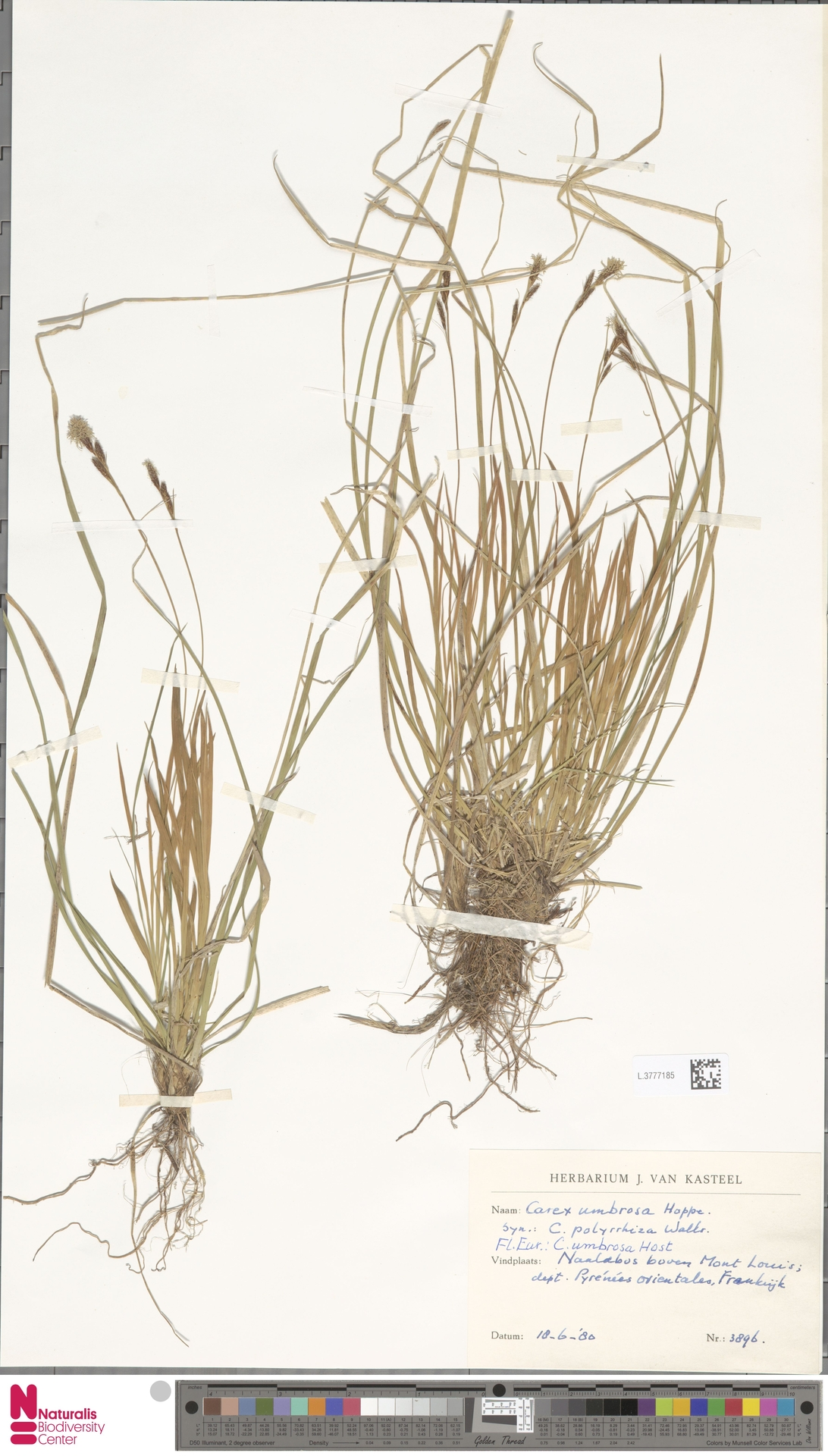 L.3777185   Carex umbrosa Host
