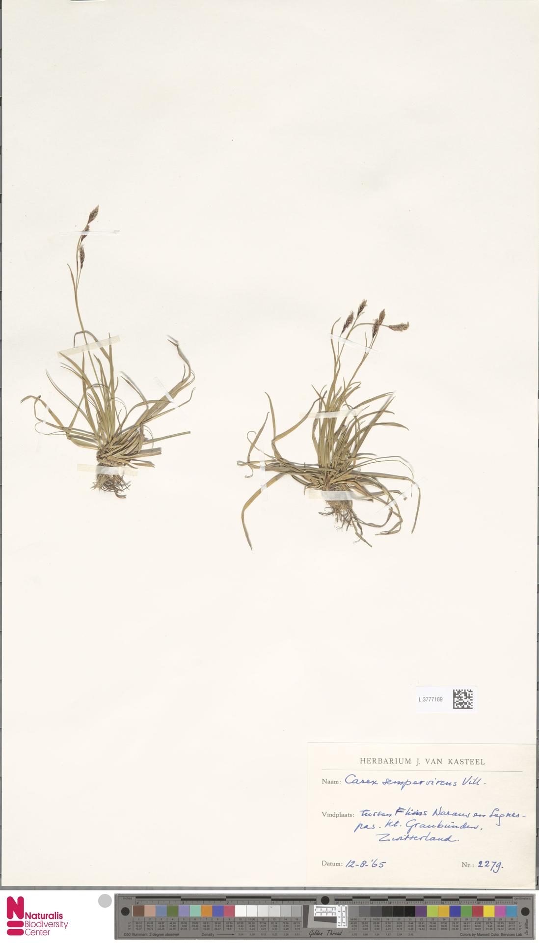 L.3777189   Carex sempervirens Vill.