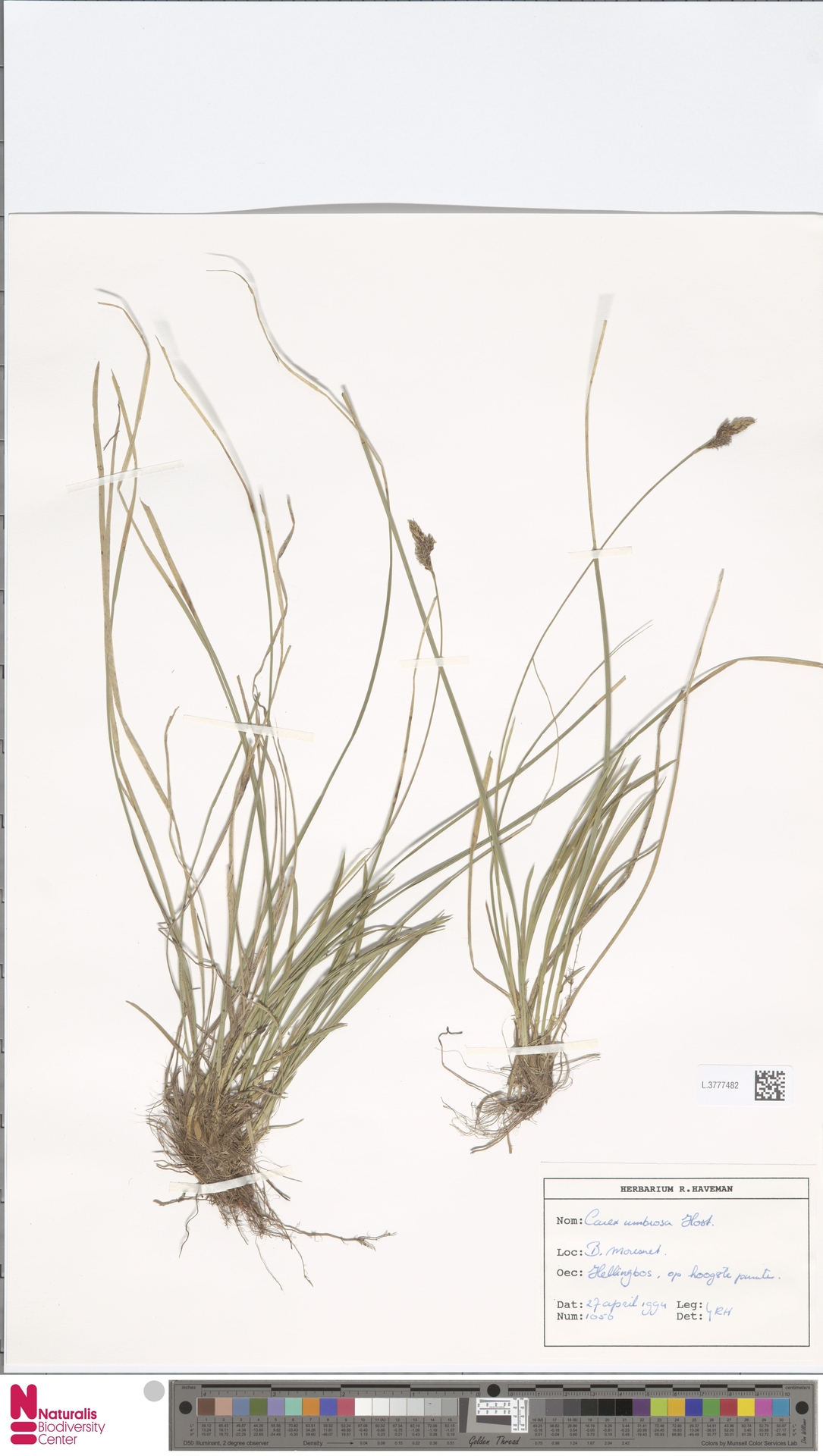 L.3777482 | Carex umbrosa Host
