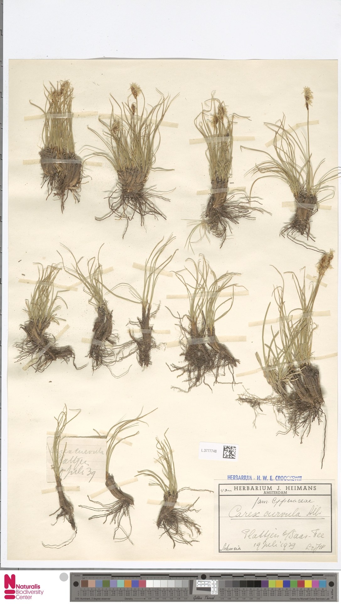 L.3777748 | Carex curvula All.