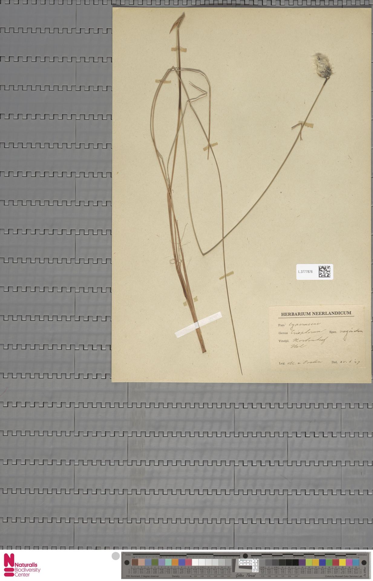 L.3777876 | Eriophorum vaginatum L.