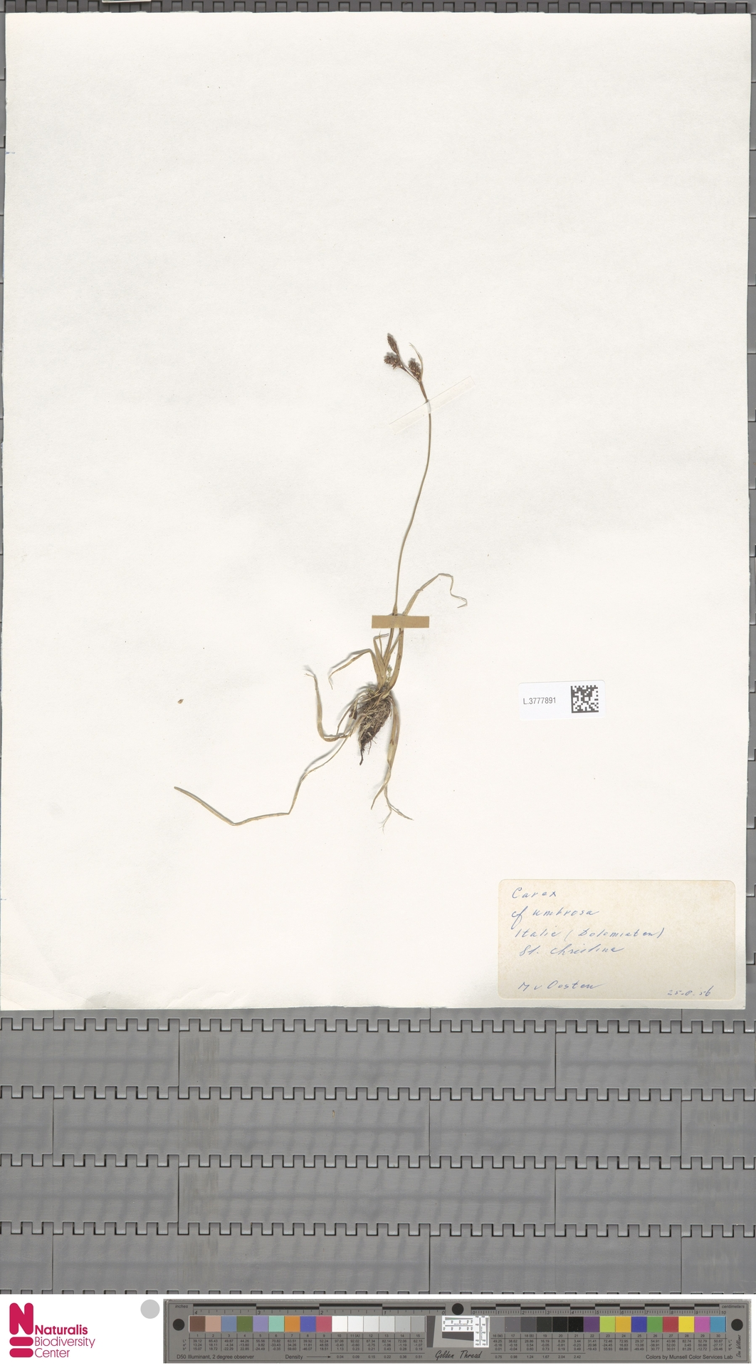 L.3777891 | Carex umbrosa Host