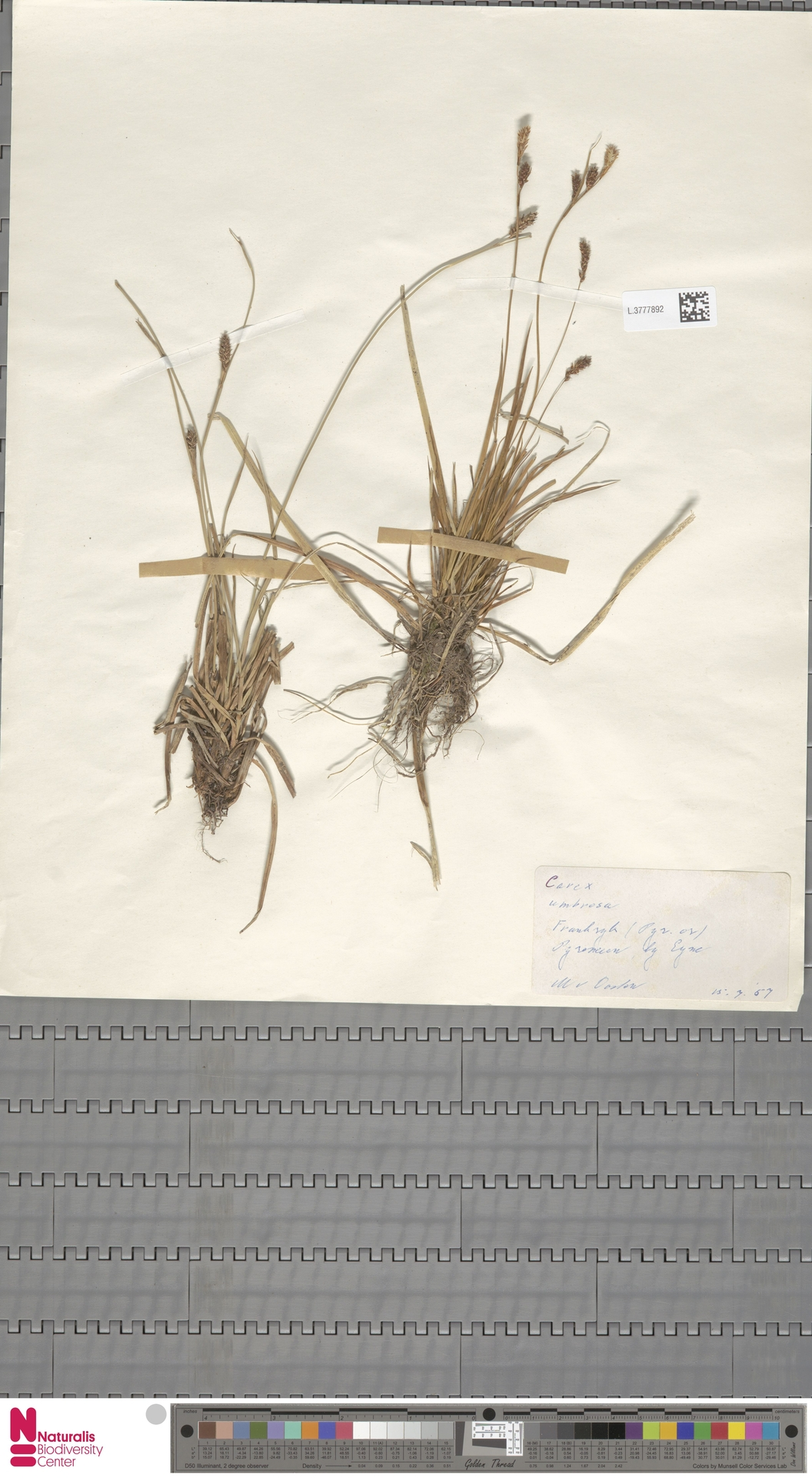 L.3777892 | Carex umbrosa Host