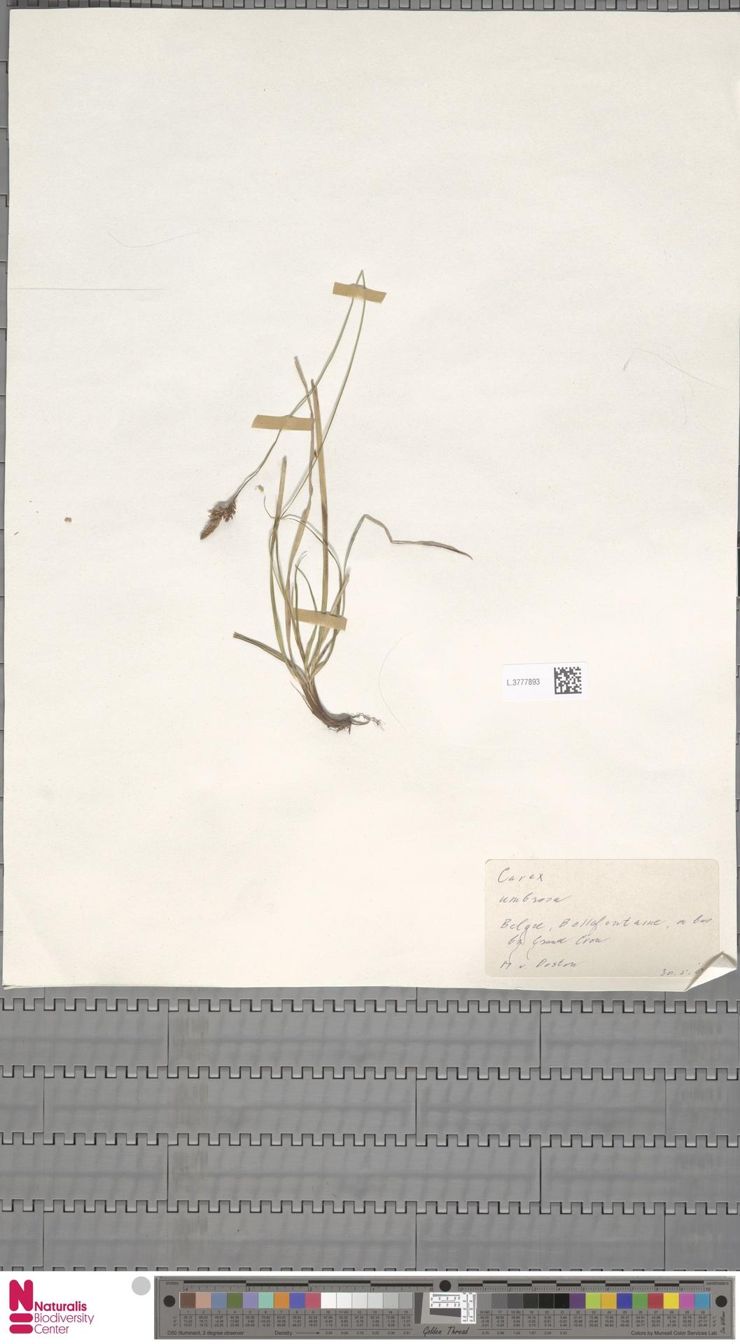 L.3777893 | Carex umbrosa Host