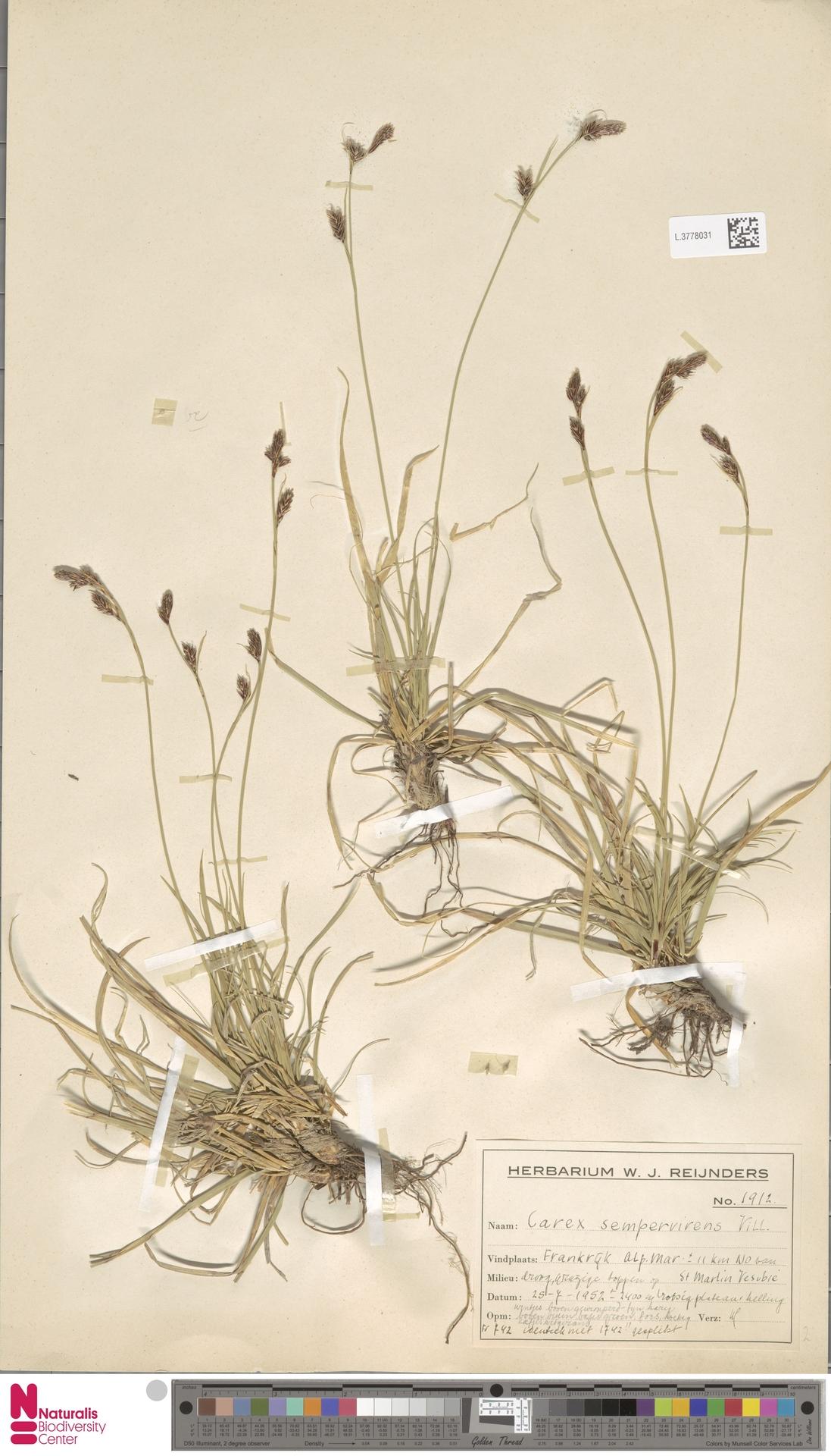 L.3778031 | Carex sempervirens Vill.