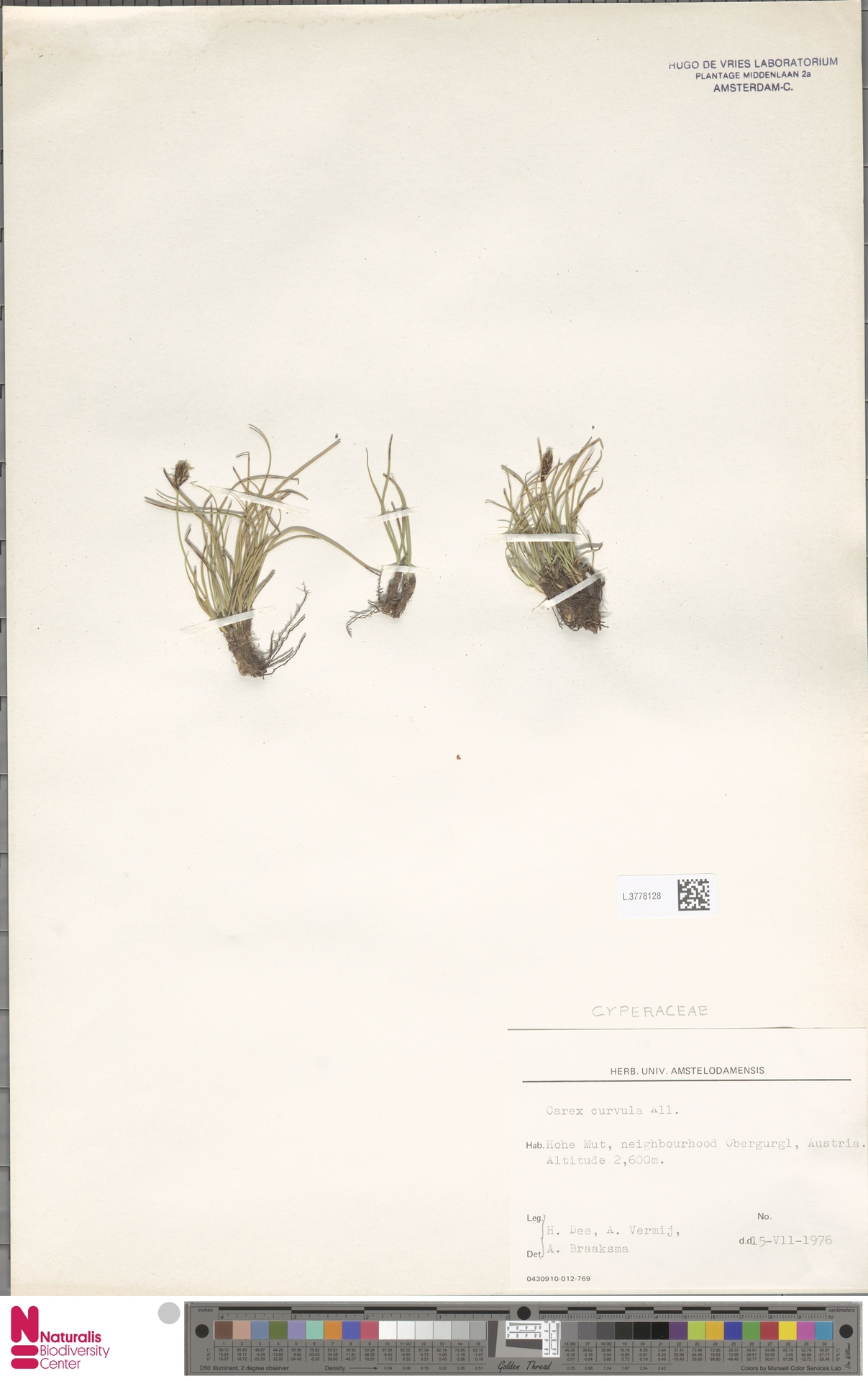 L.3778128 | Carex curvula All.