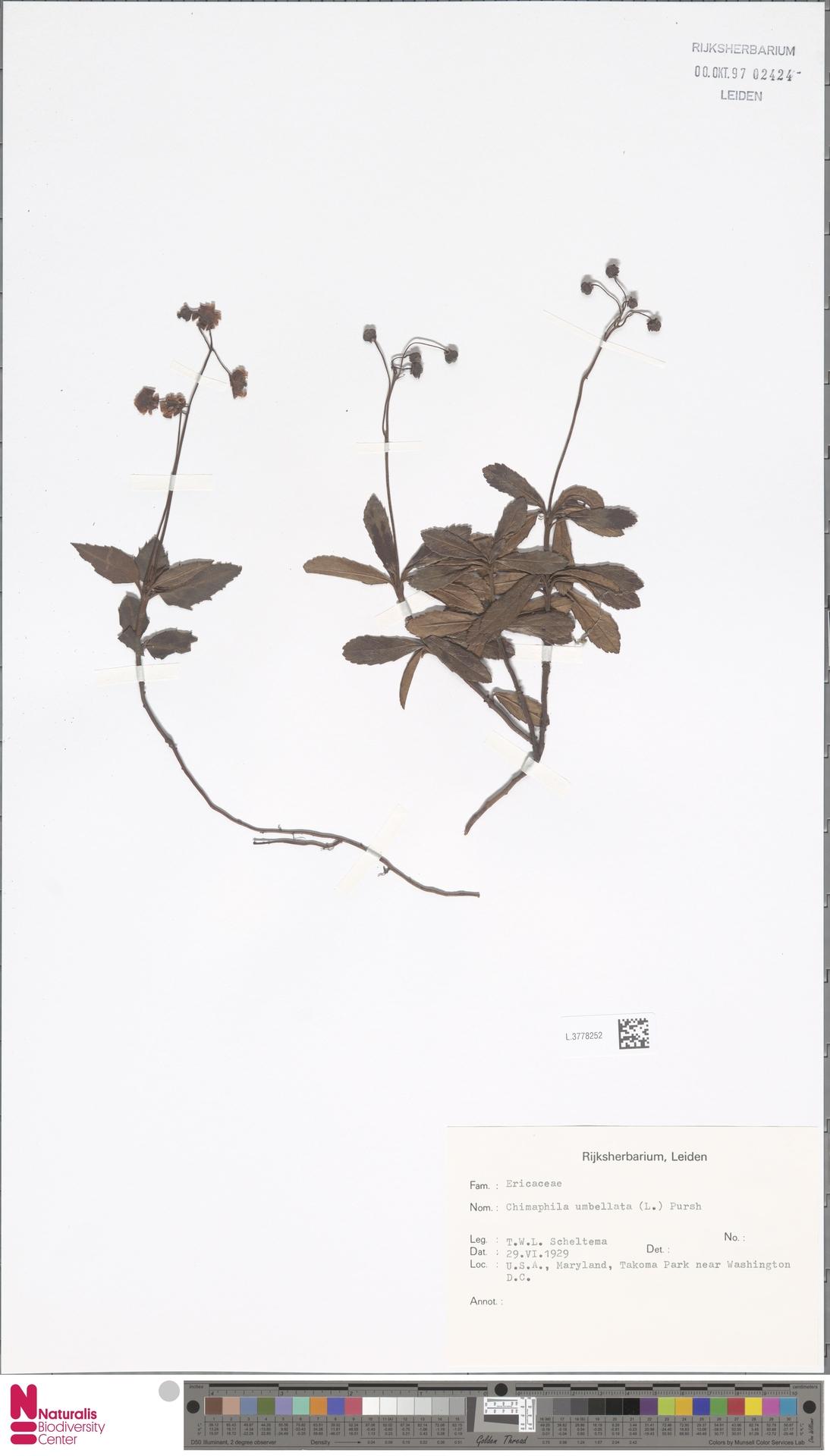 L.3778252 | Chimaphila umbellata (L.) W.C.Barton