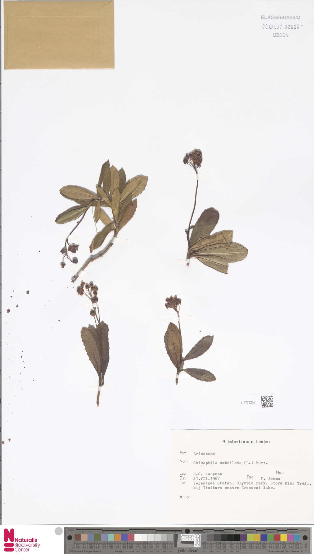 L.3778253 | Chimaphila umbellata (L.) W.C.Barton
