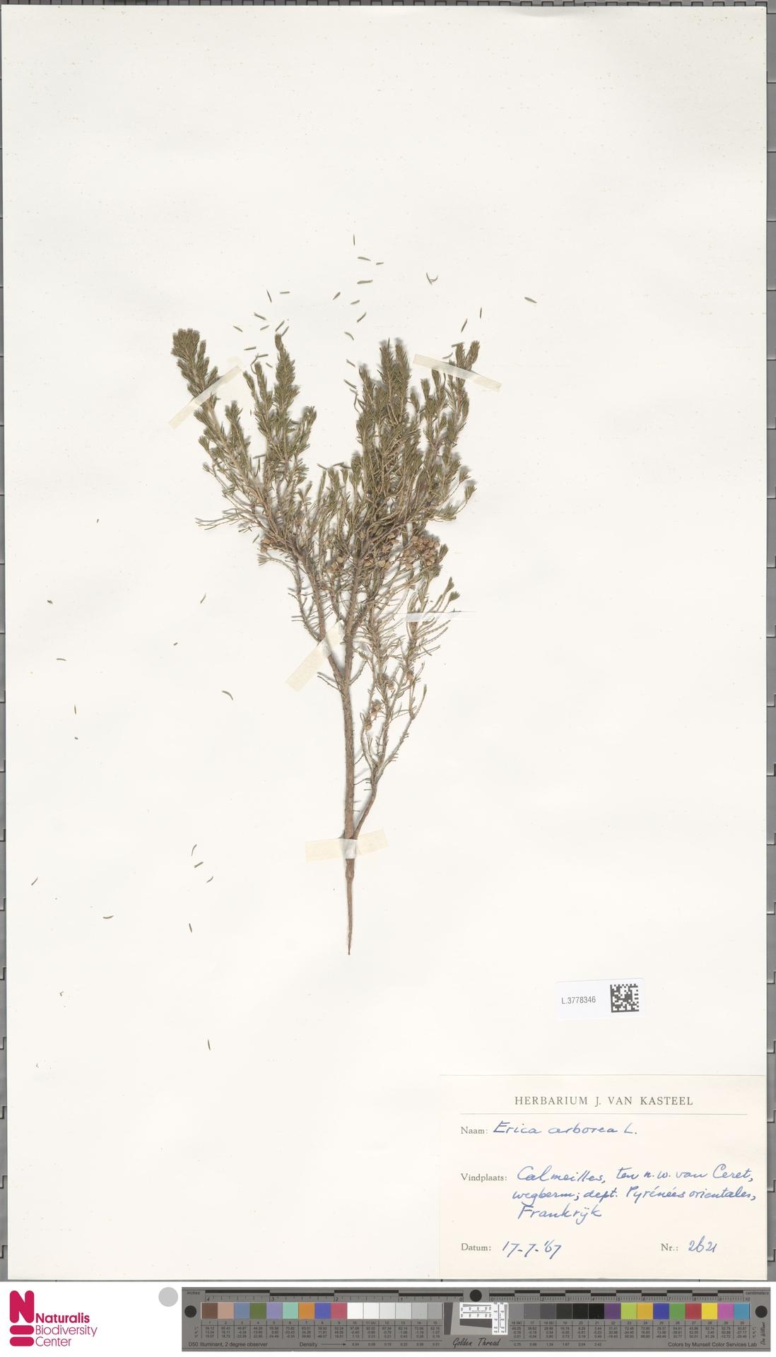 L.3778346 | Erica arborea L.