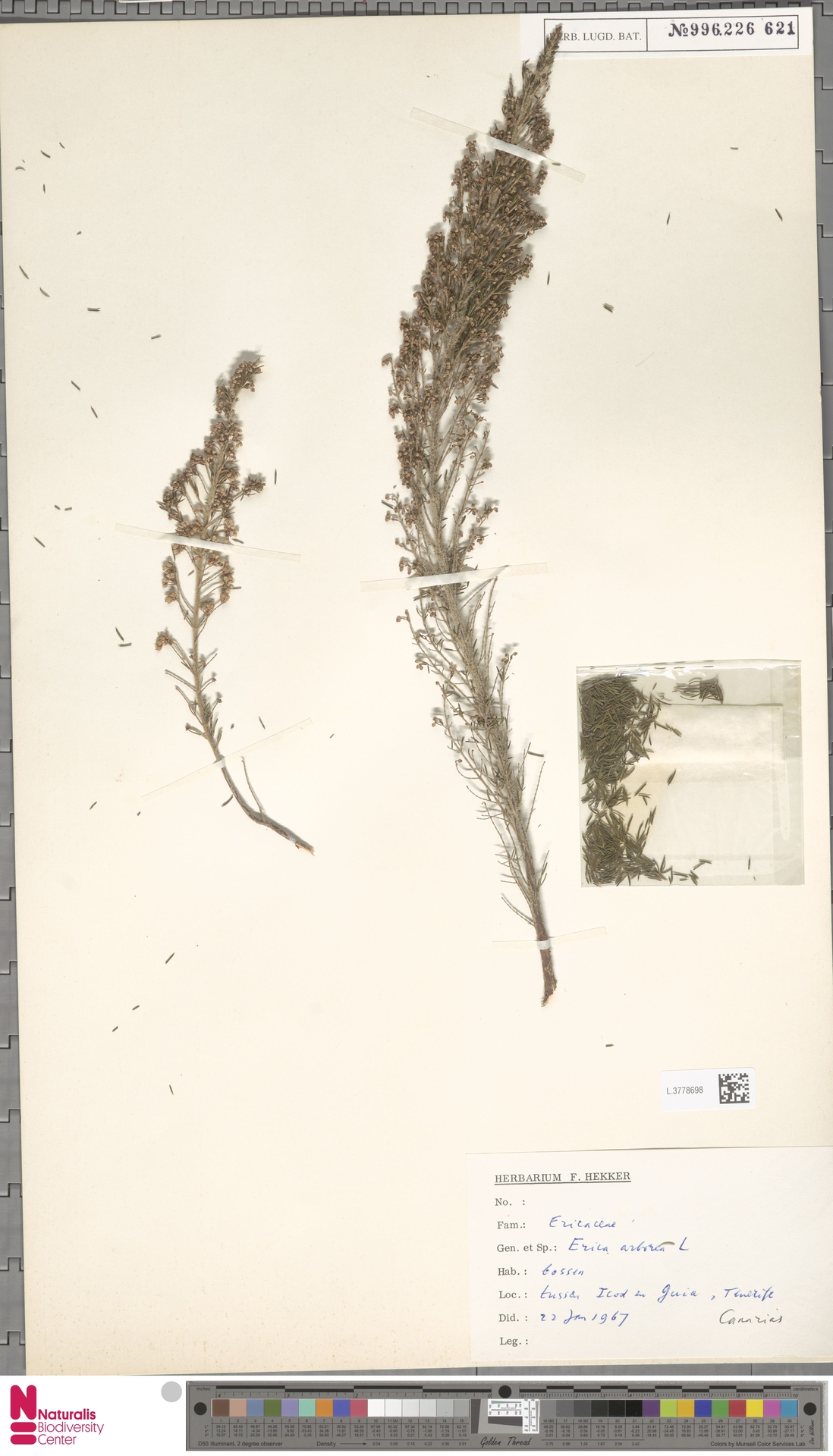 L.3778698 | Erica arborea L.