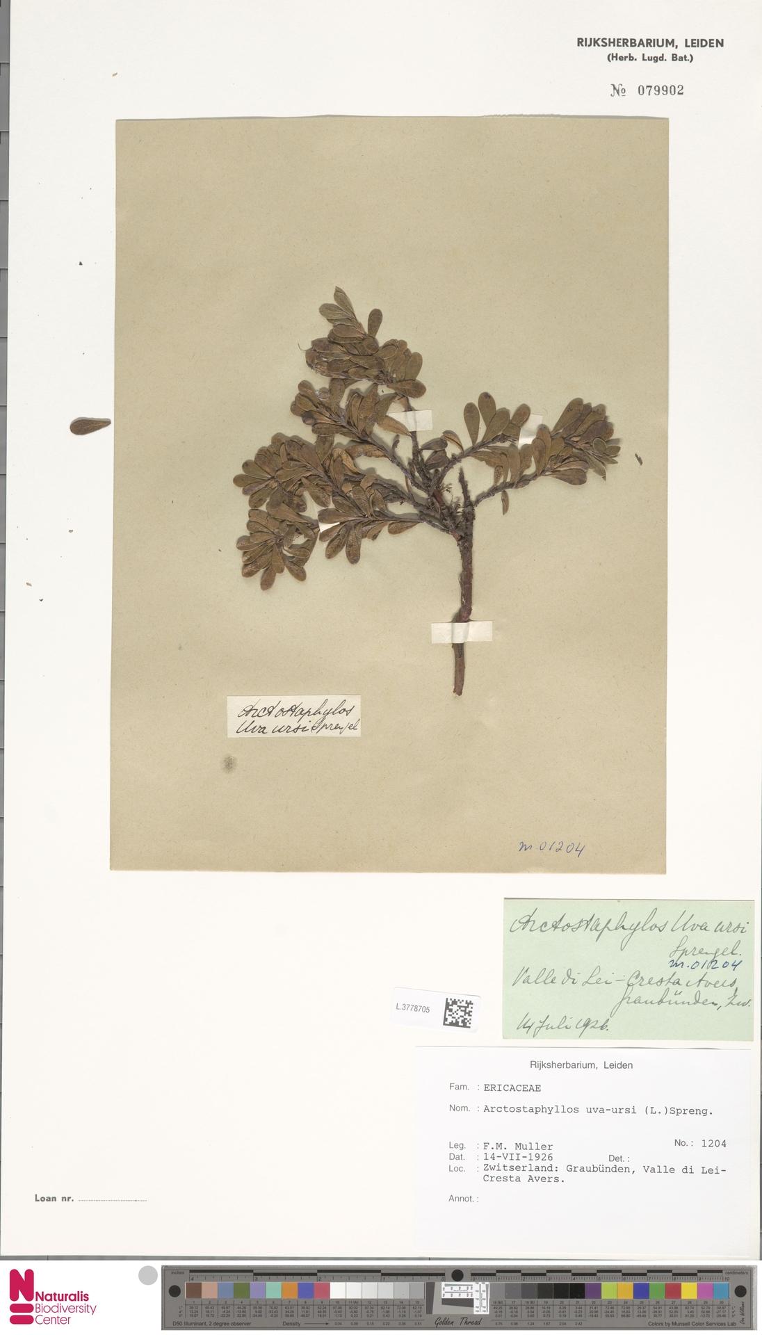 L.3778705 | Arctostaphylos uva-ursi (L.) Spreng.