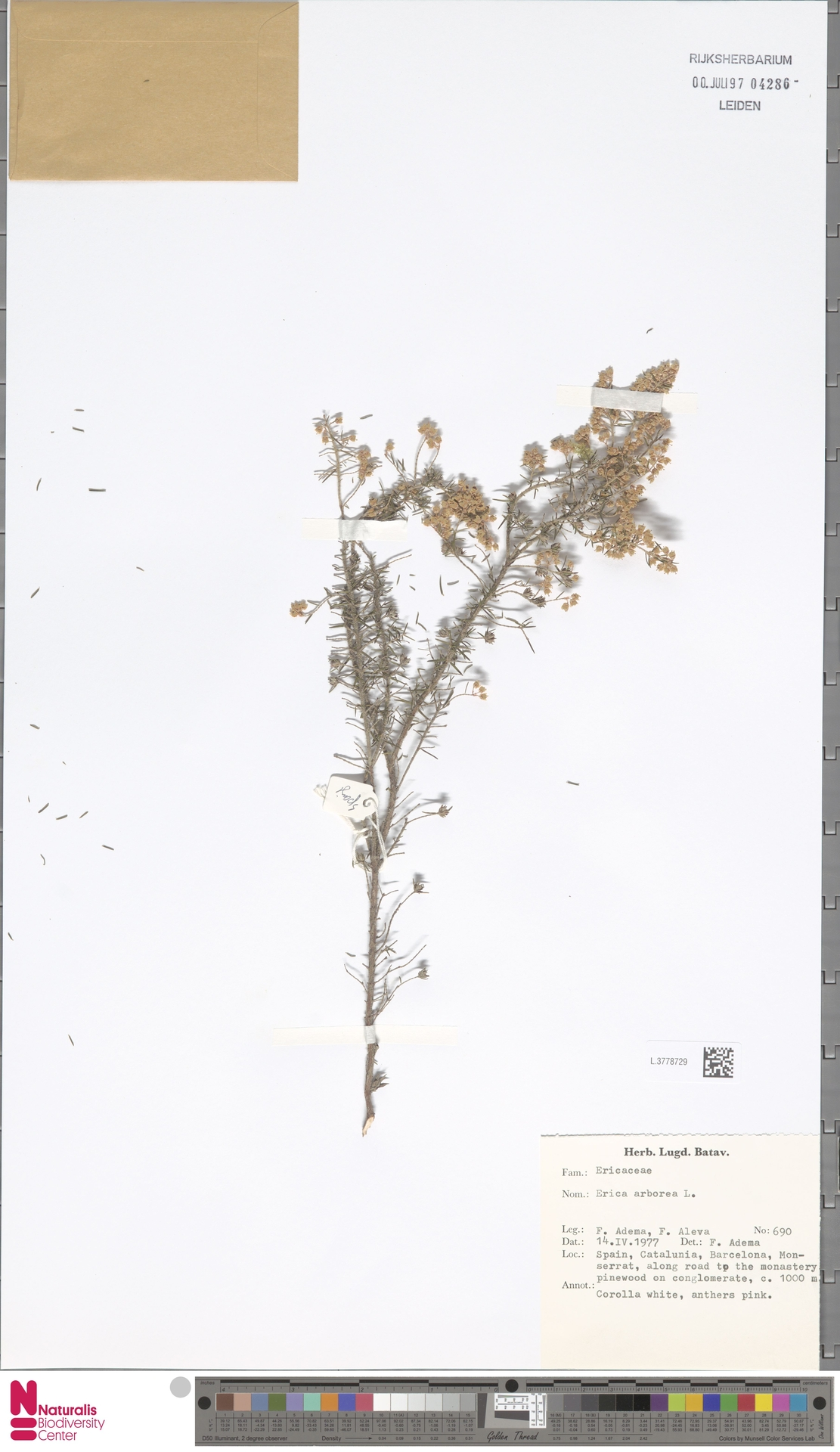 L.3778729 | Erica arborea L.