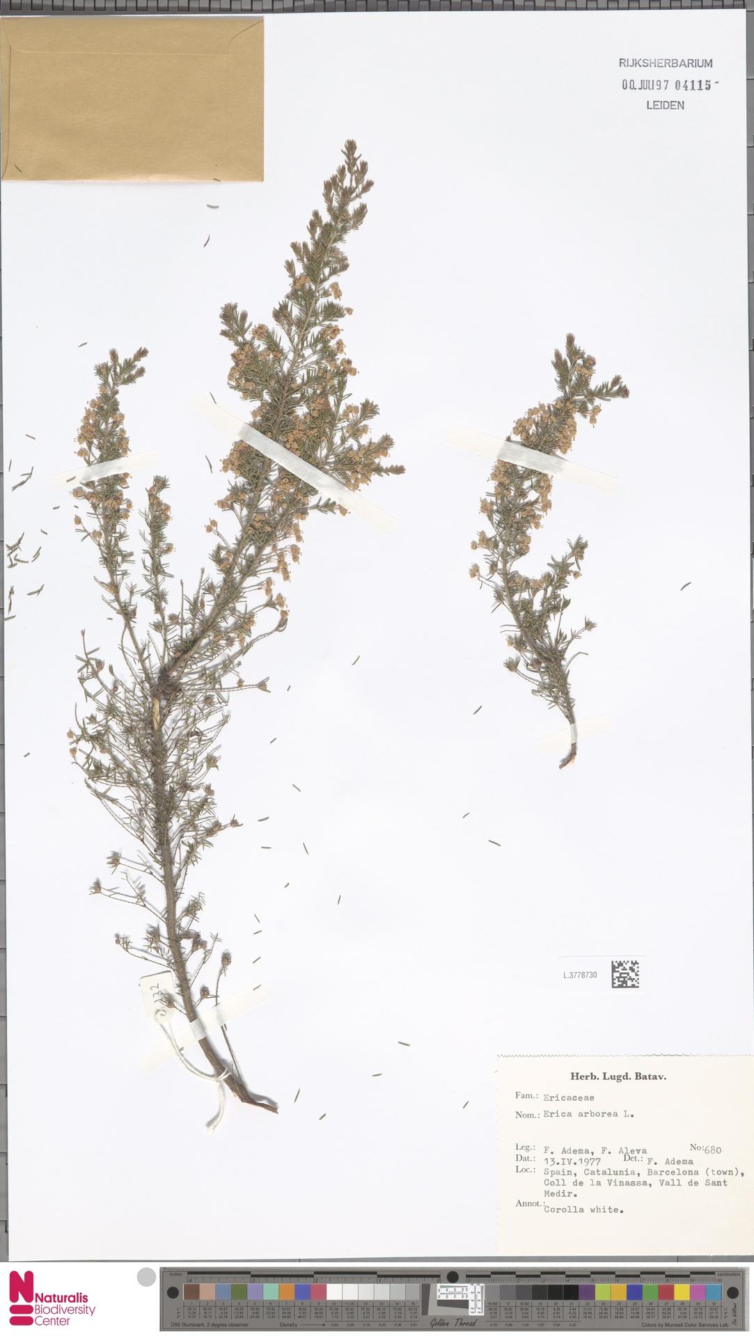 L.3778730 | Erica arborea L.