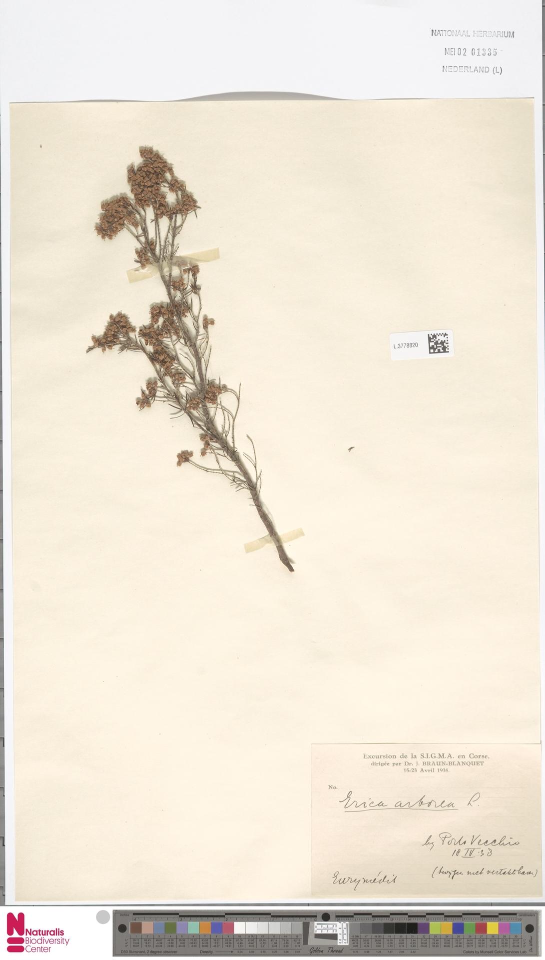 L.3778820 | Erica arborea L.