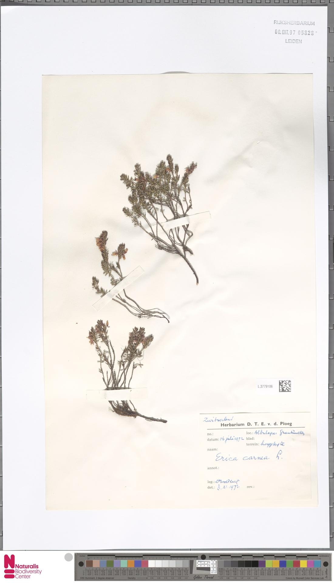 L.3779106   Erica carnea L.