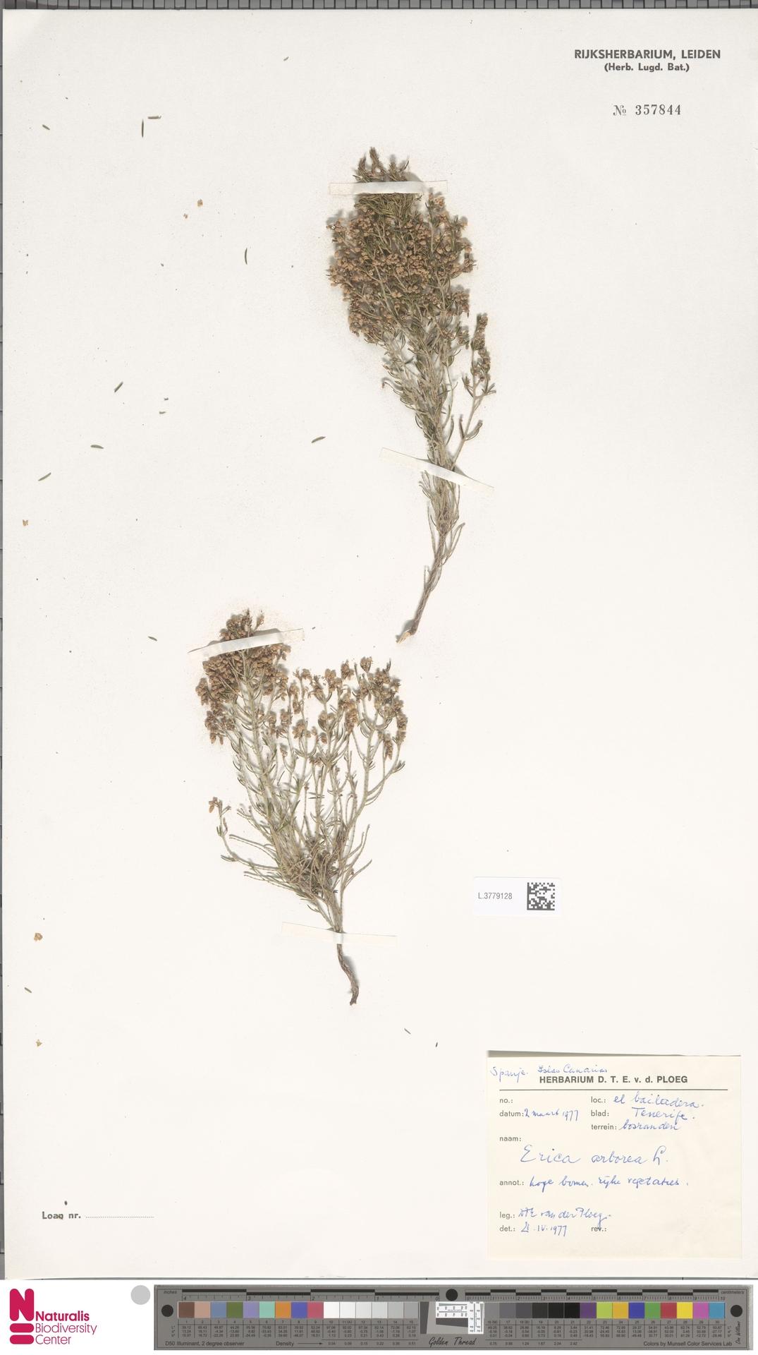 L.3779128 | Erica arborea L.