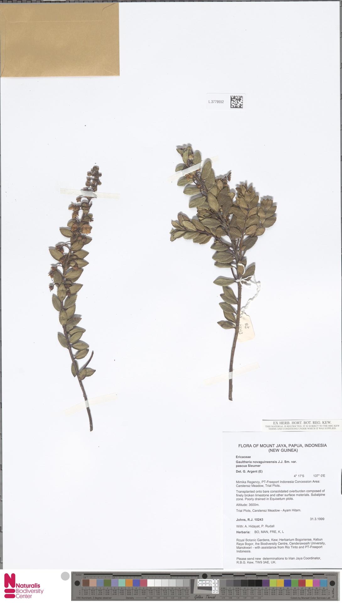 L.3779552 | Gaultheria novaguineensis var. pascua Sleumer