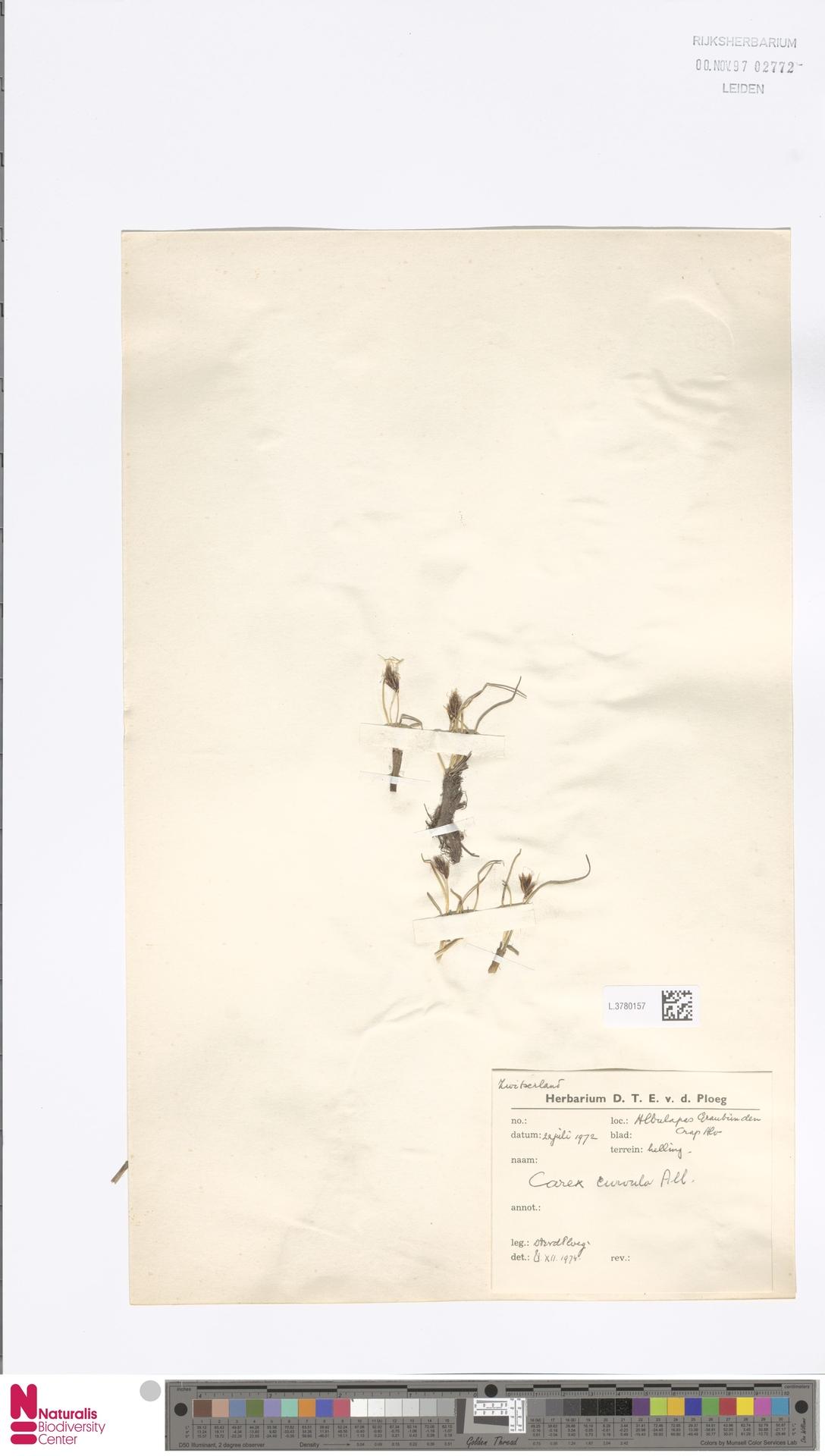 L.3780157 | Carex curvula All.