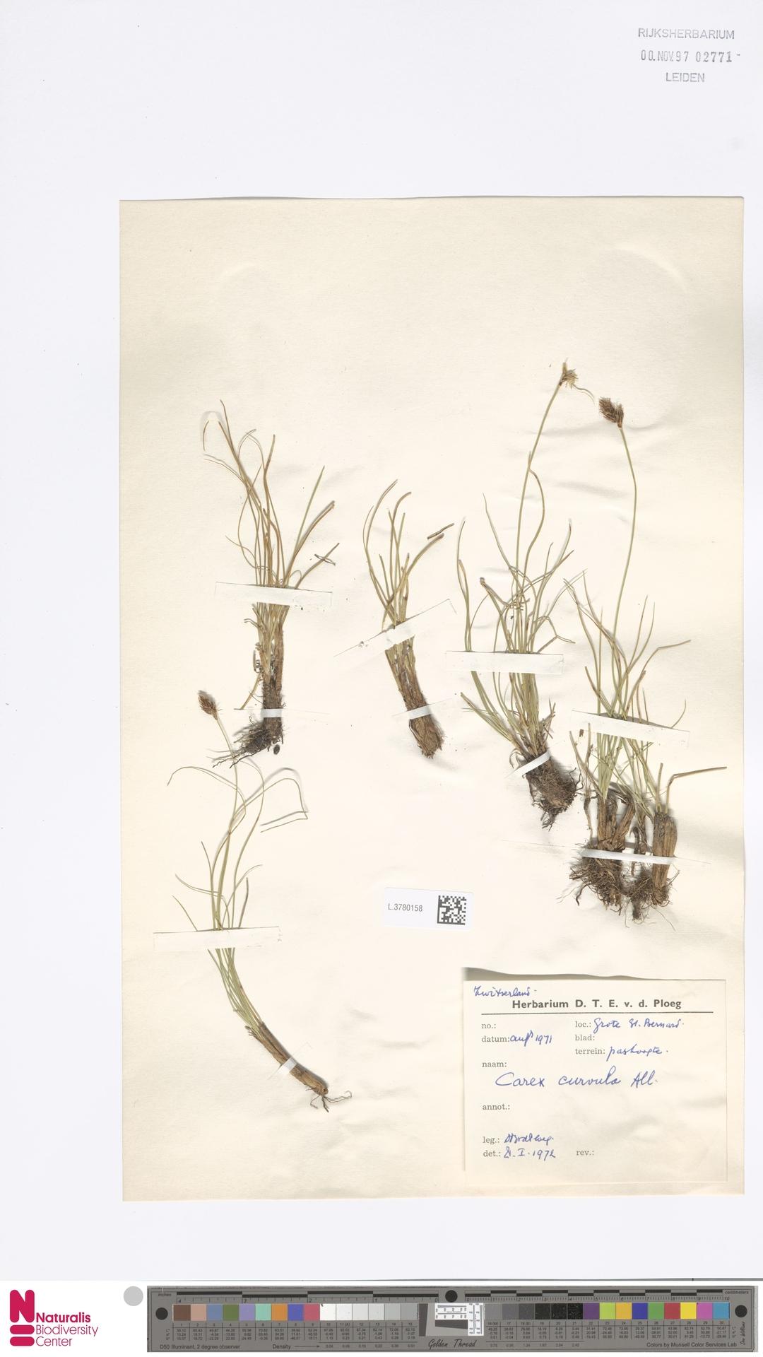 L.3780158 | Carex curvula All.