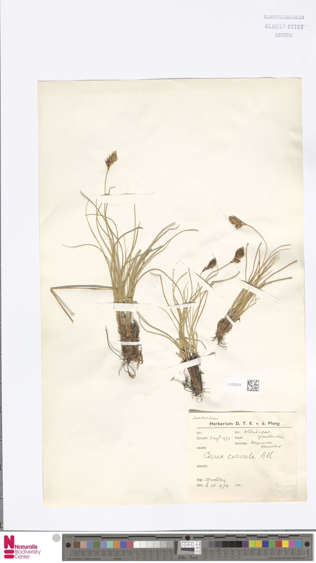 L.3780204 | Carex curvula All.