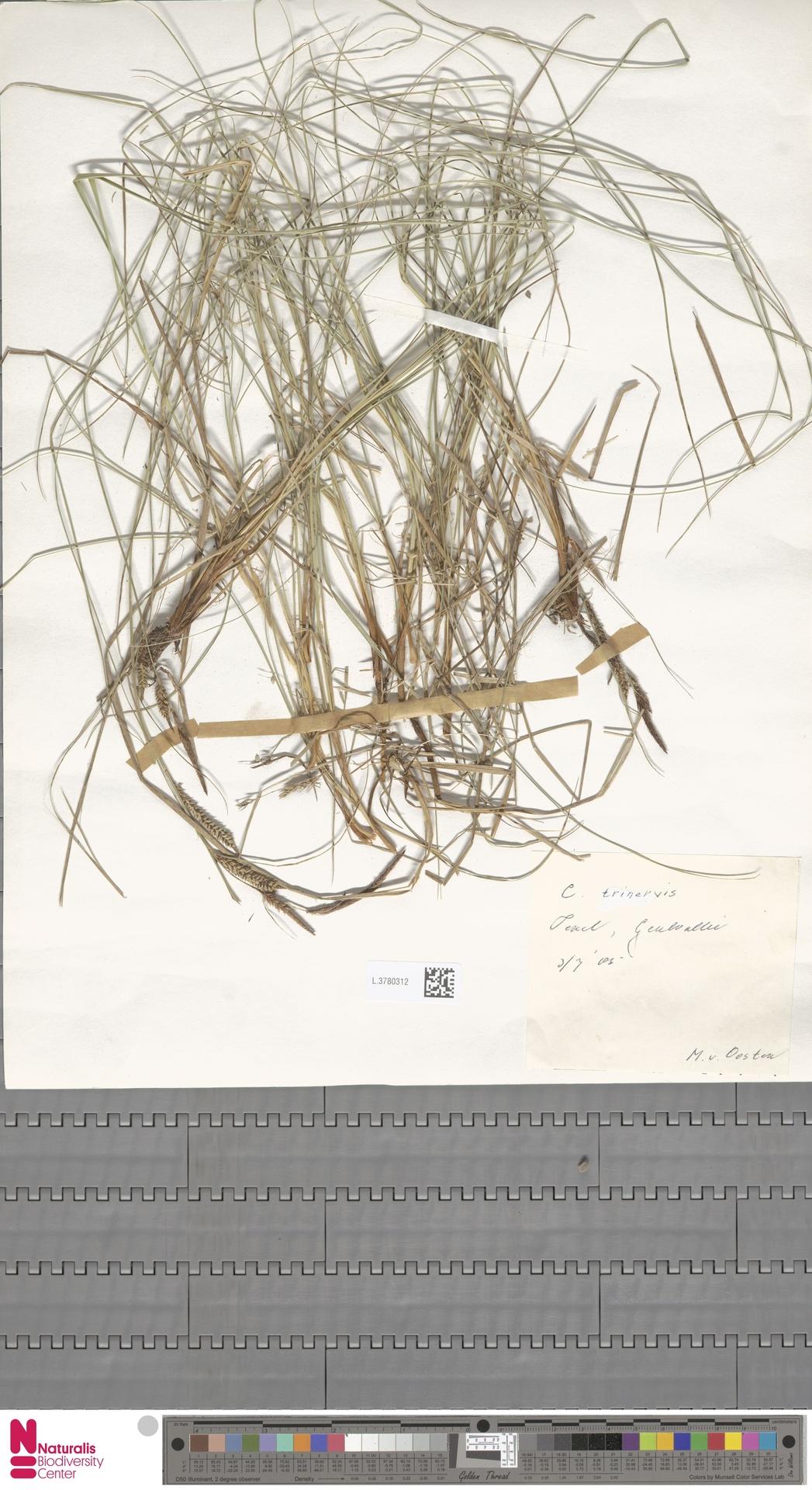 L.3780312   Carex trinervis Degl.
